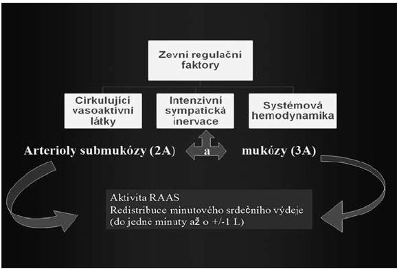 Obr. 2B. Extrinzické mechanismy regulující střevní perfuzi RAAS – systém renin-angiotensin-aldosteron