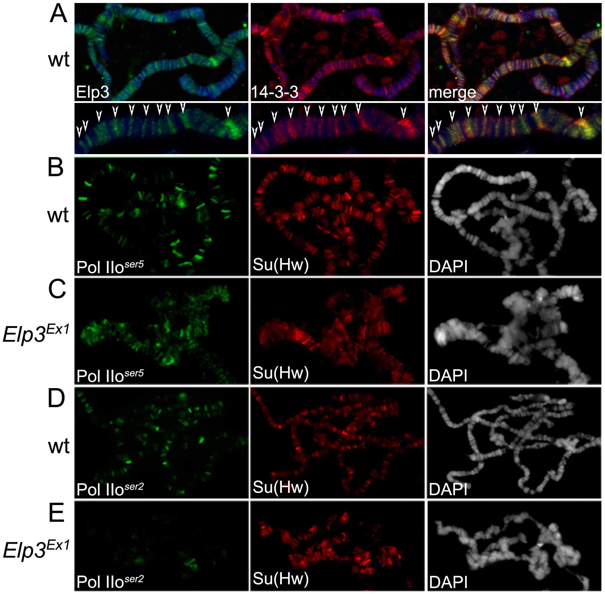 Elp3 co-localizes with 14-3-3 and is required for proper chromatin structure and transcription elongation.