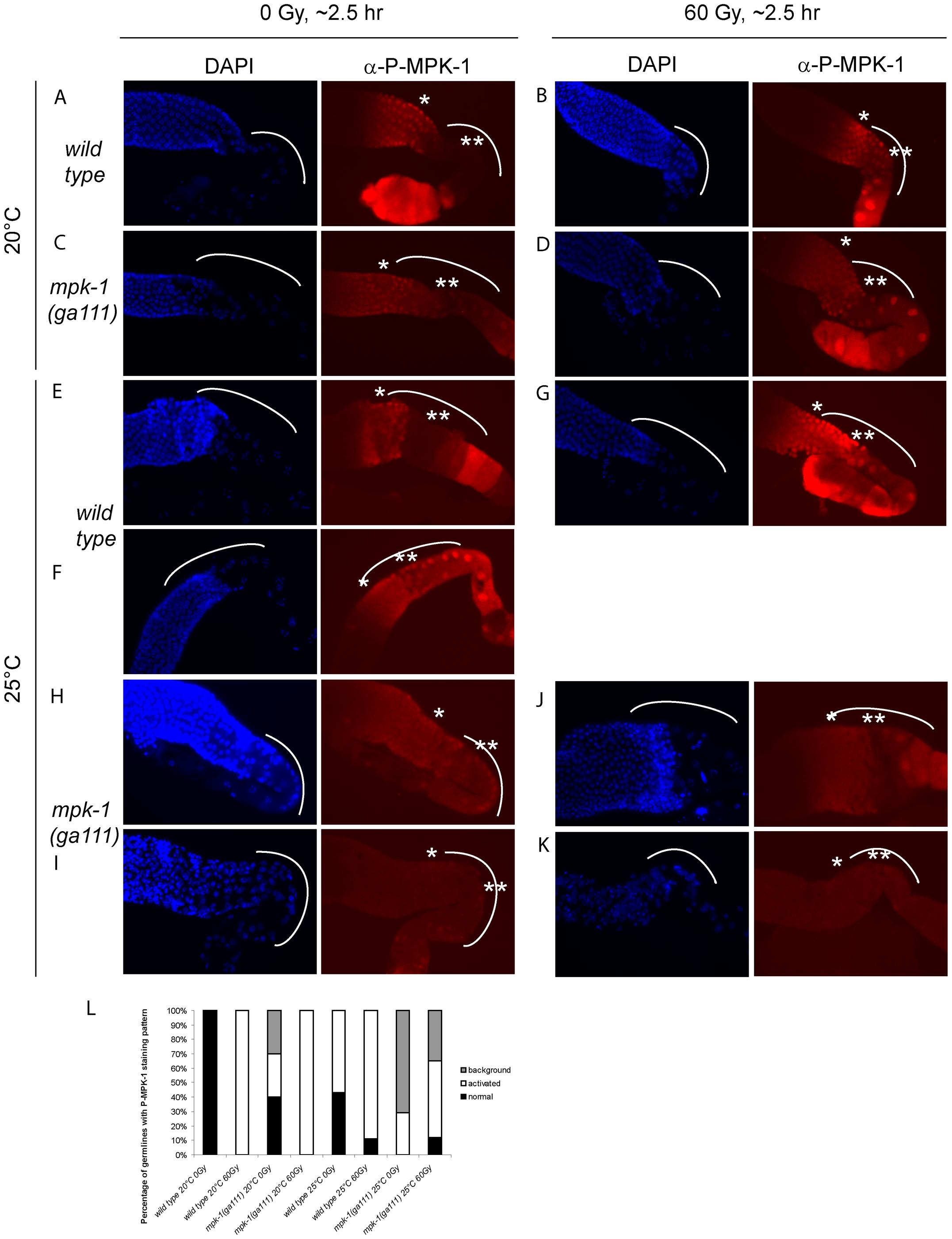 MPK-1 phosphorylation is slightly increased by irradiation in <i>mpk-1(ga111ts)</i> mutants raised at 25°C.