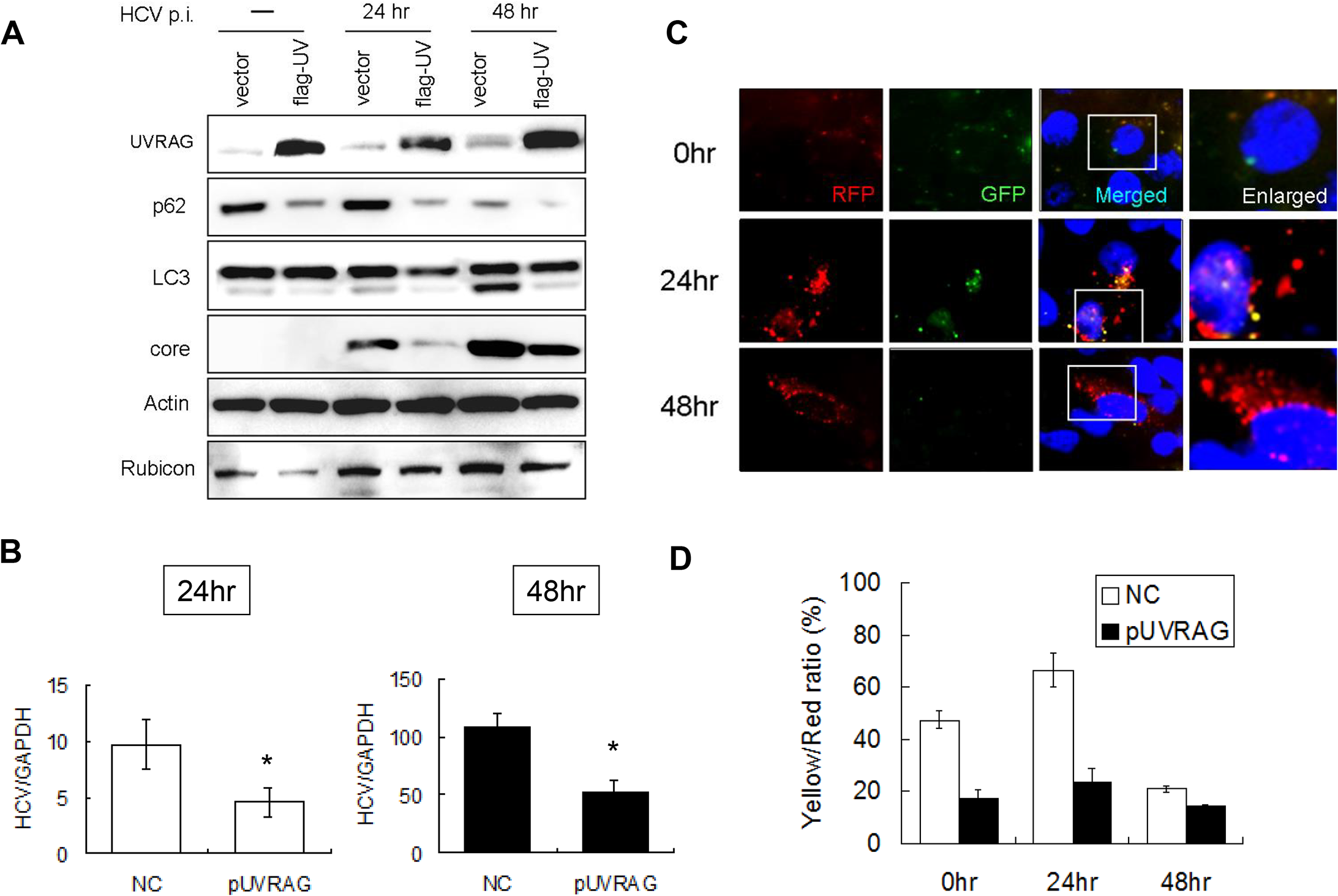 Over-expression of UVRAG enhanced the maturation of autophagosomes and reduced HCV RNA replication.