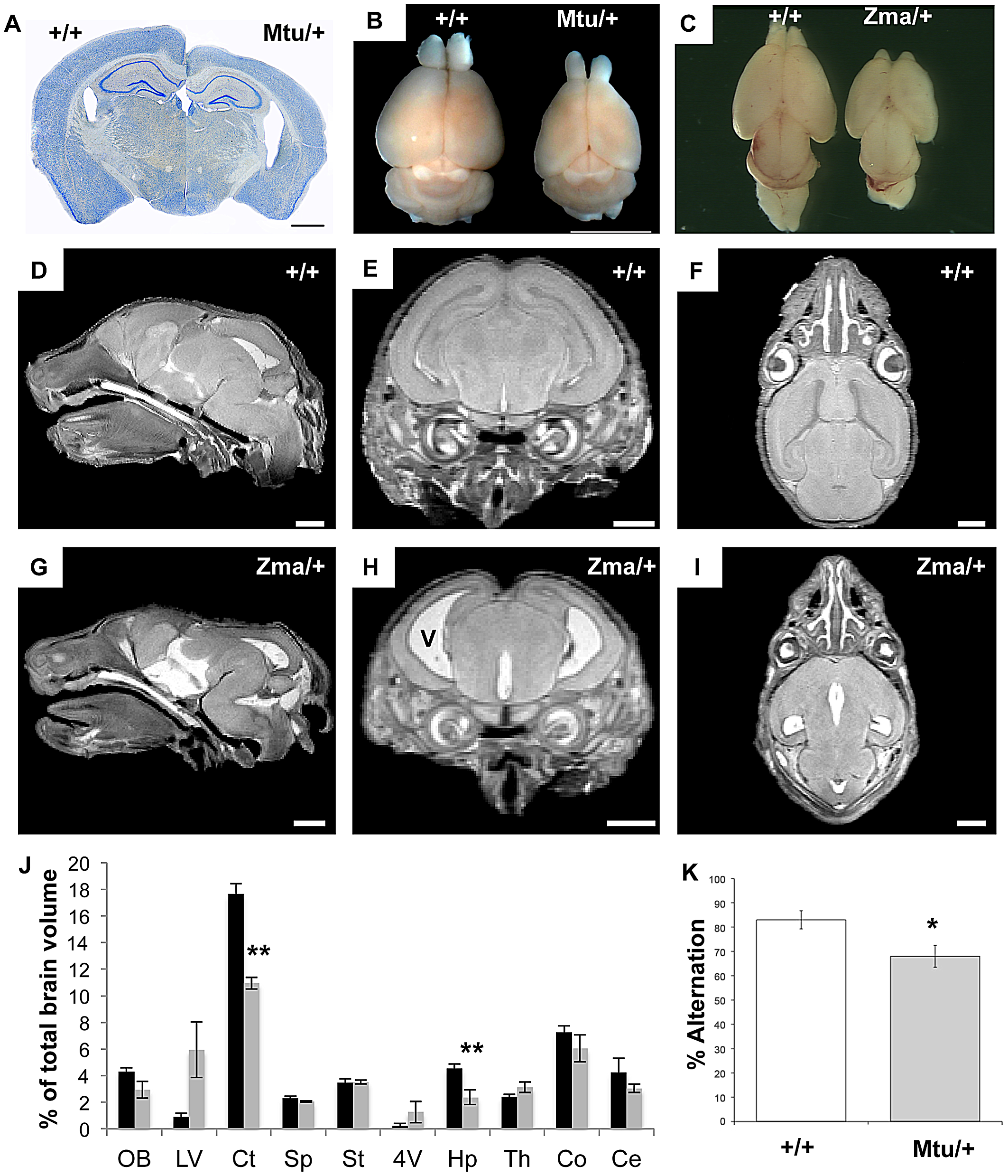 Brain size and behavioral abnormalities in <i>Rps7</i> mutants.