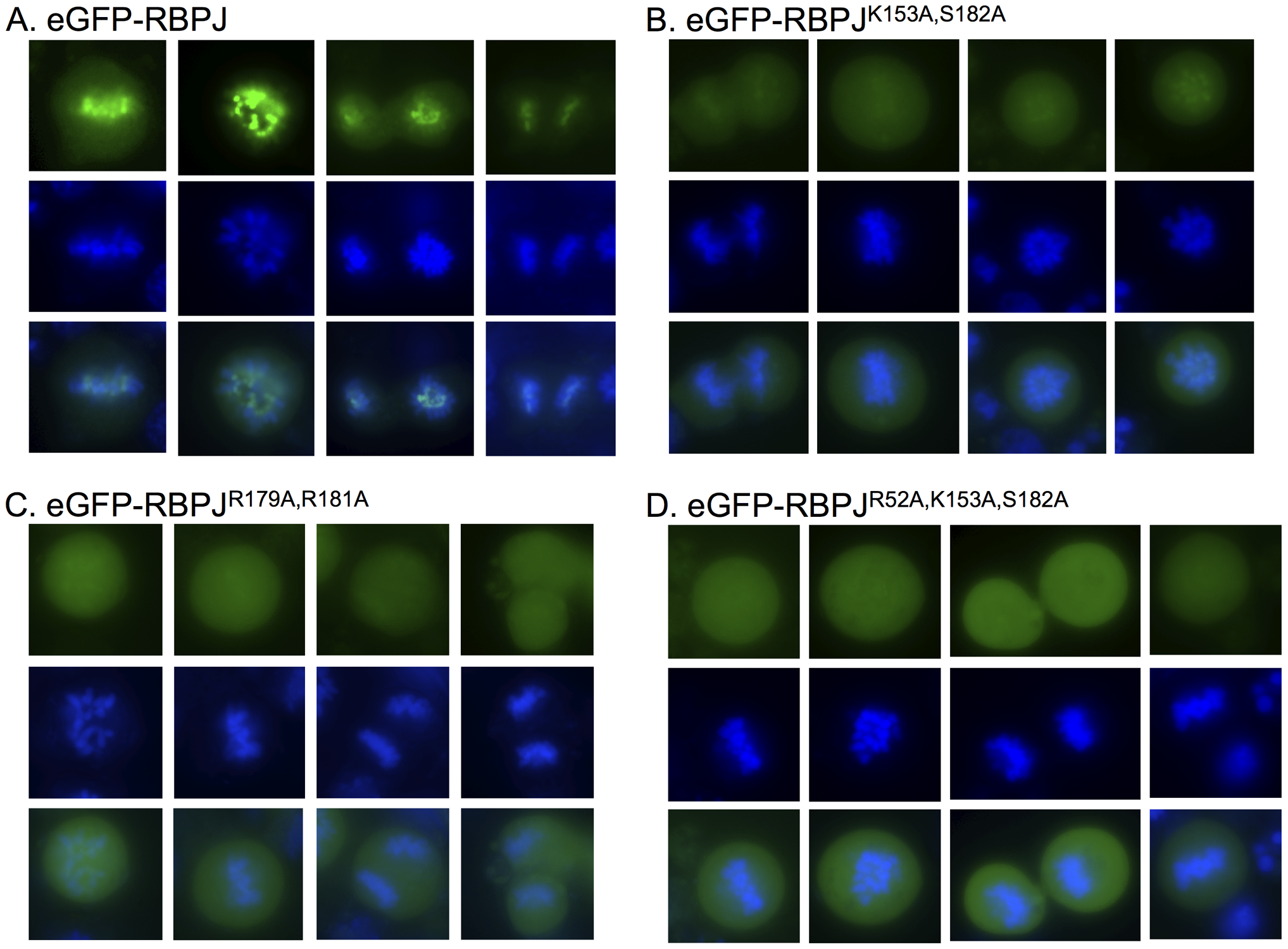 RBPJ associates with mitotic chromatin through direct DNA contacts.