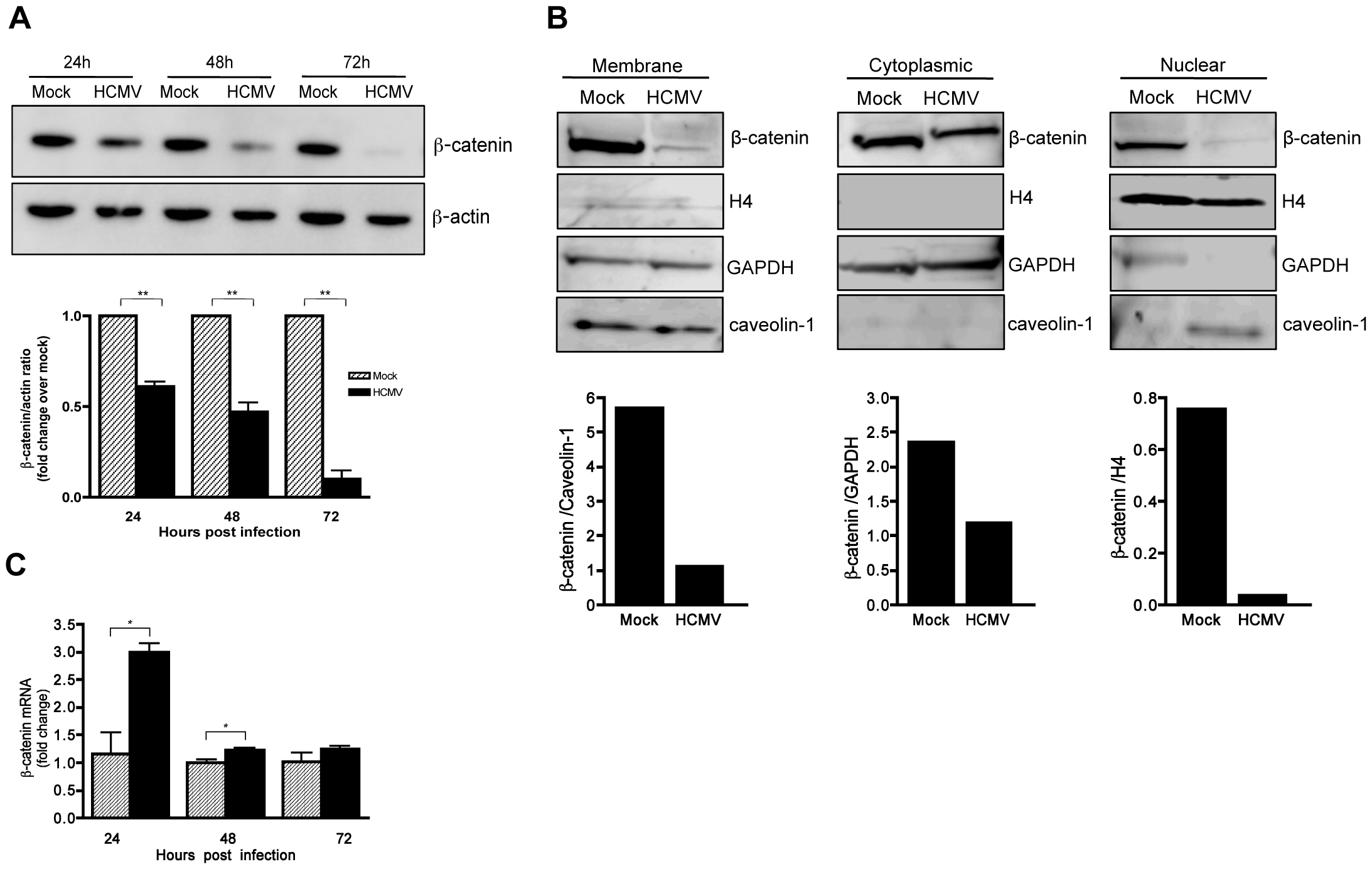 HCMV induces degradation of β-catenin.