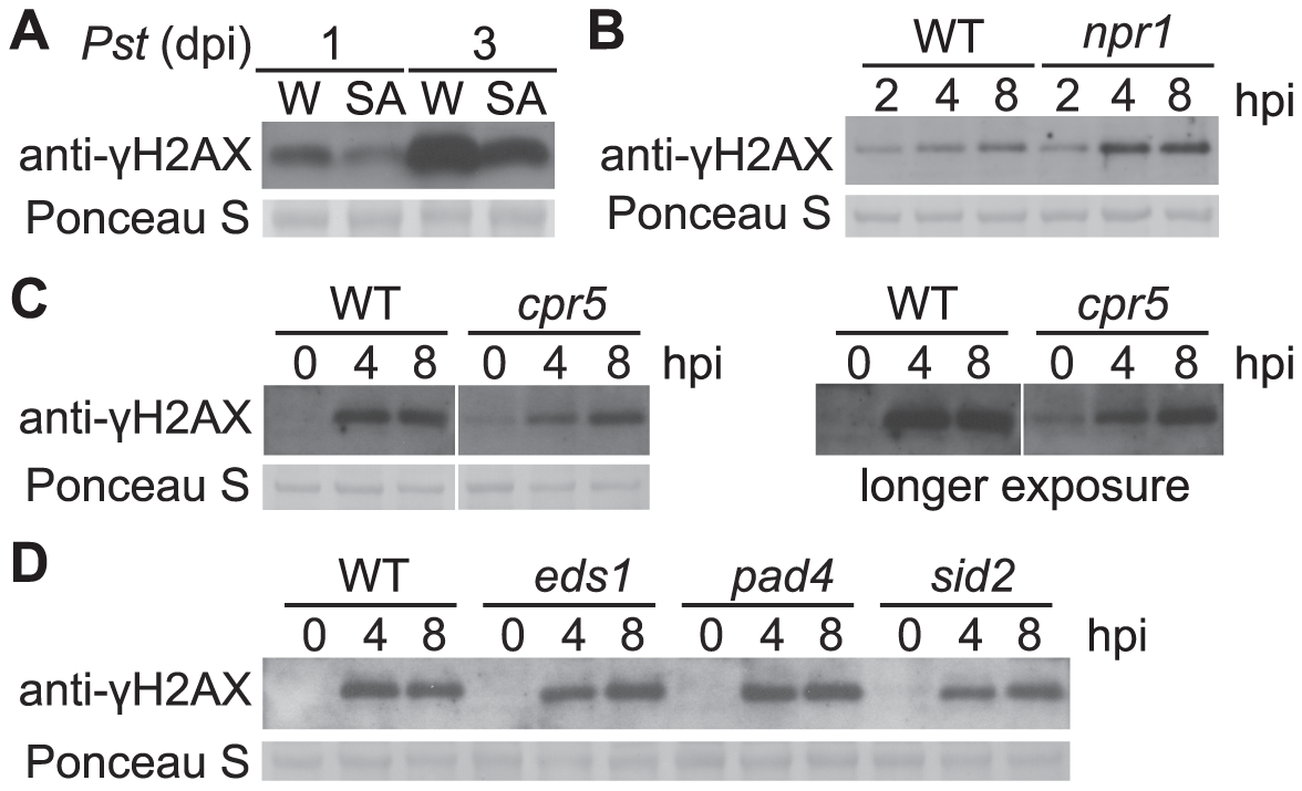 <i>Pst</i>-induced γ-H2AX accumulation during salicylic acid signaling and perception.
