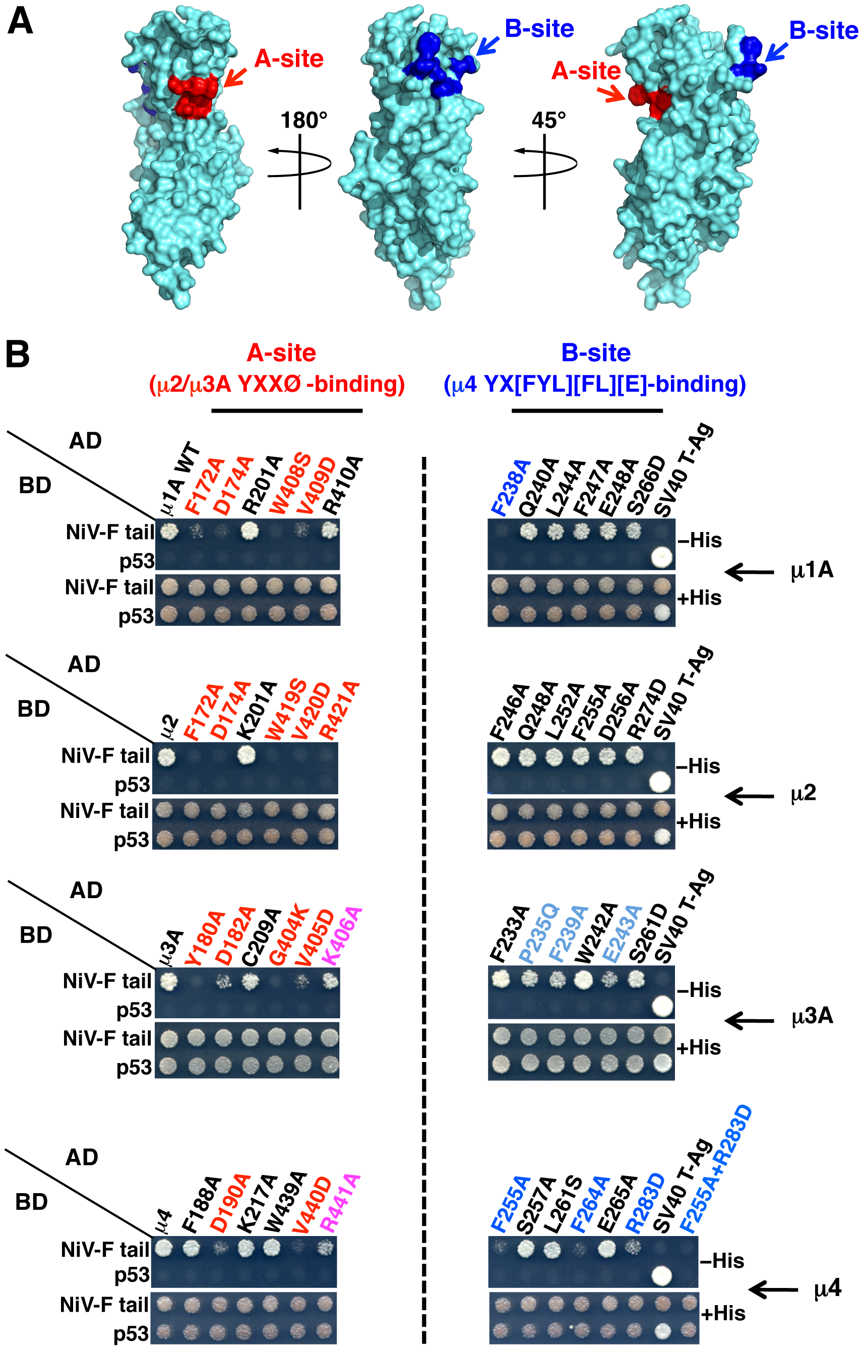 Binding sites on μ subunits involved in interactions with the NiV-F tail.