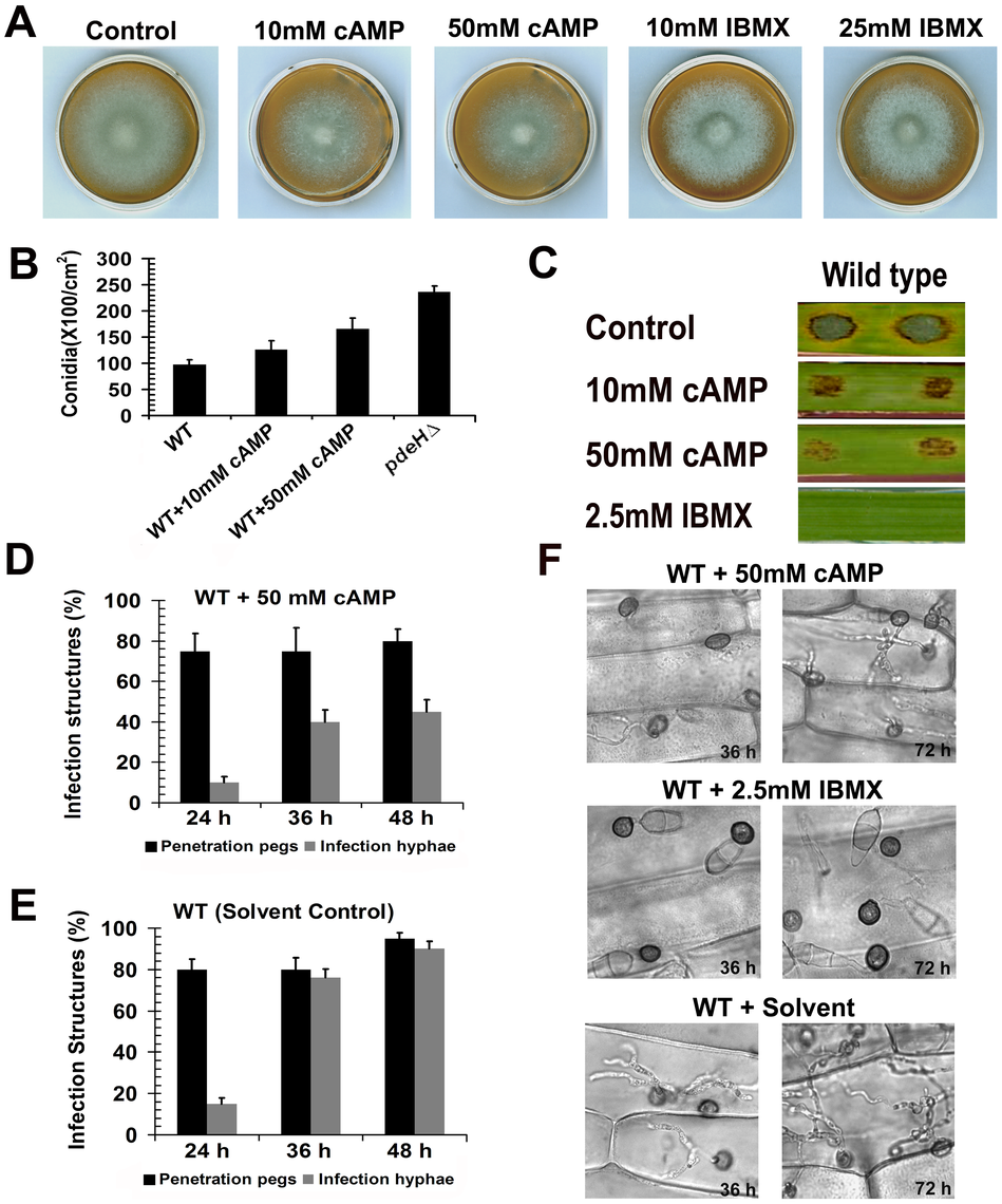 Exogenous addition of 8-Br-cAMP to the wild type results in <i>pdeH</i>Δ-like defects.