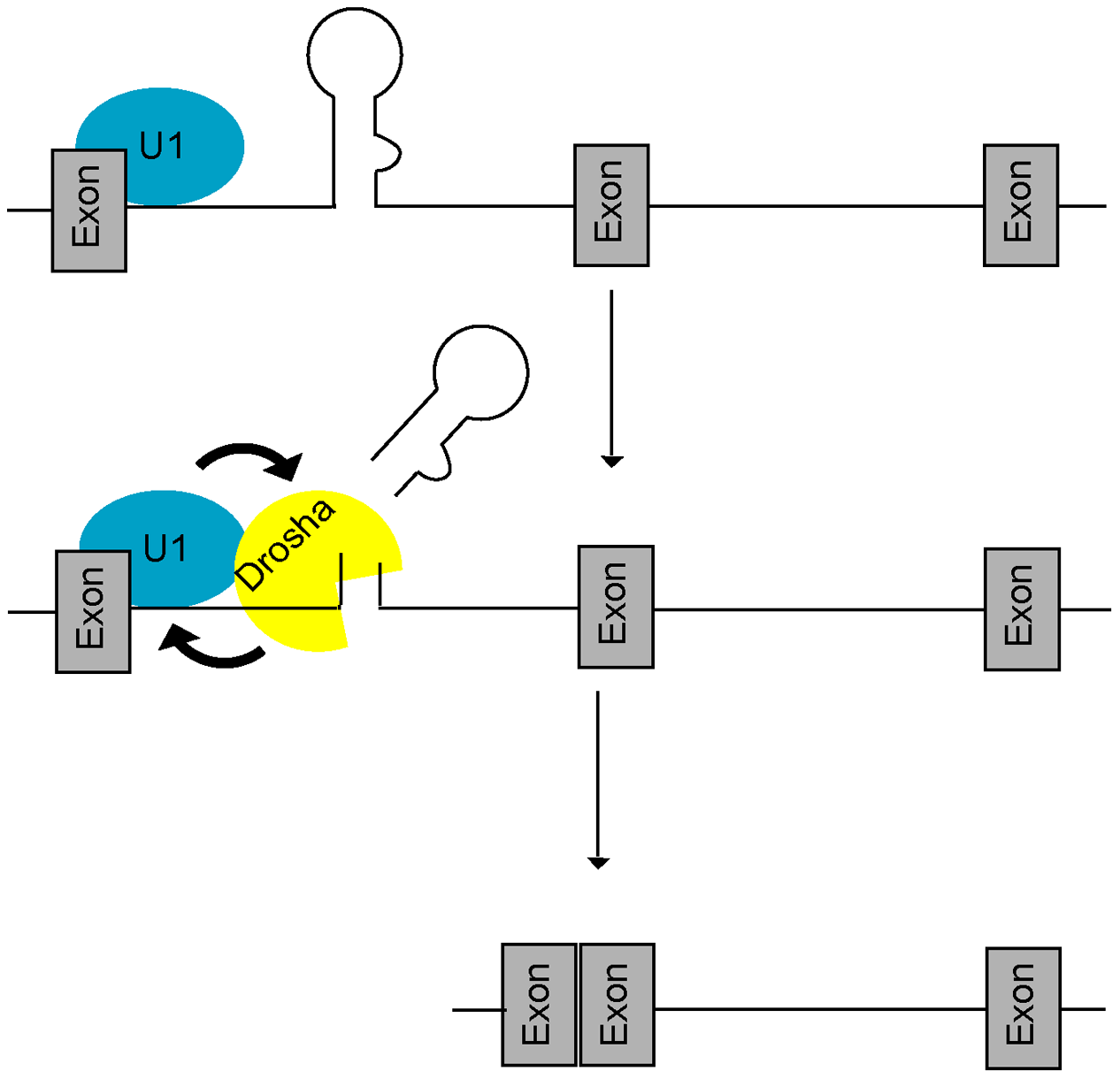 A feed-forward model of microprocessing and splicing.