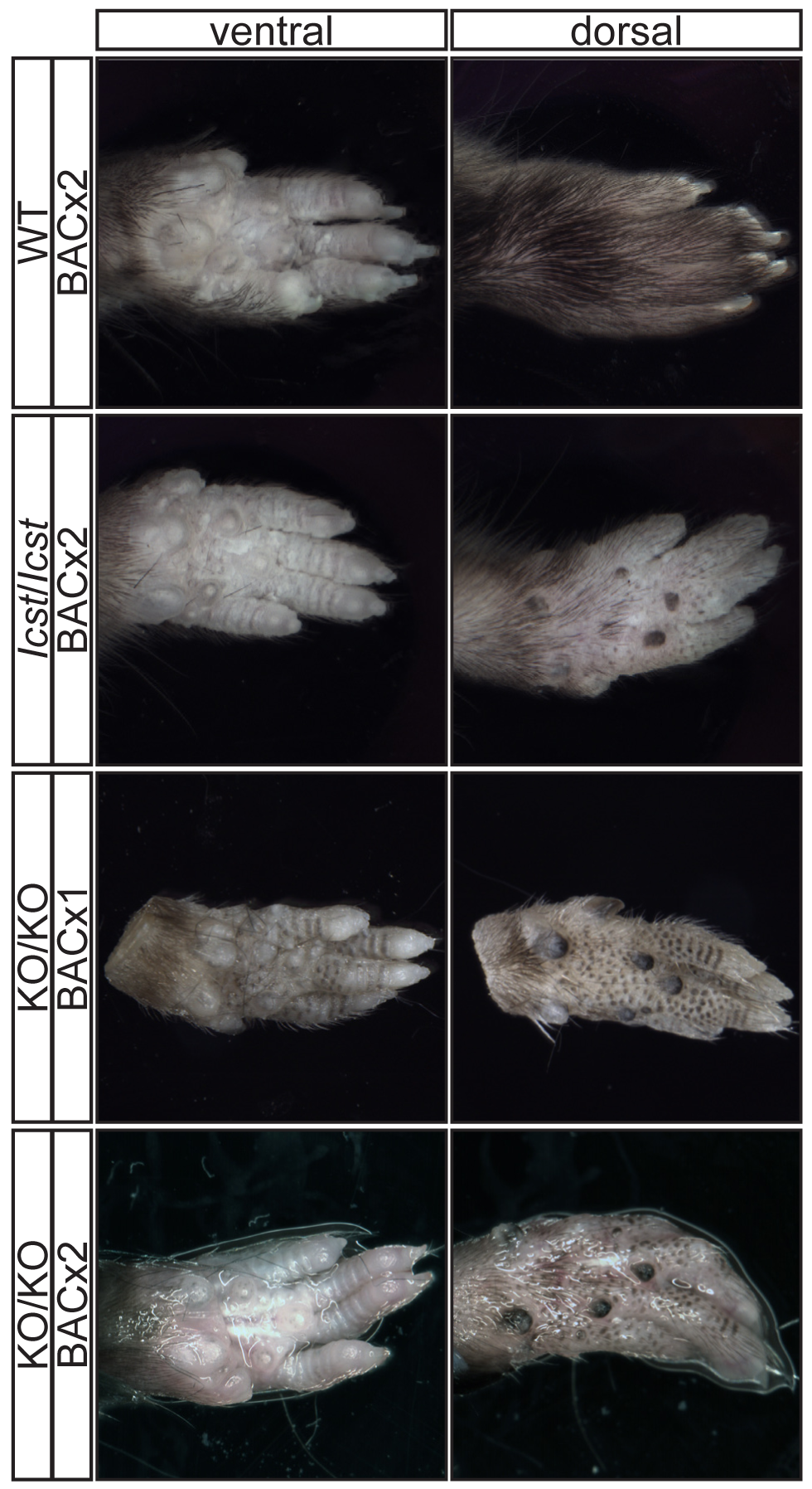 Forepaw phenotype of transgenic rescue mice.