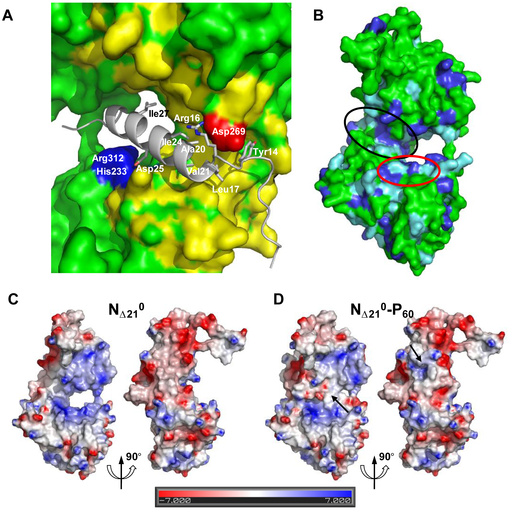 Surface properties and amino acid conservation in the P binding site.