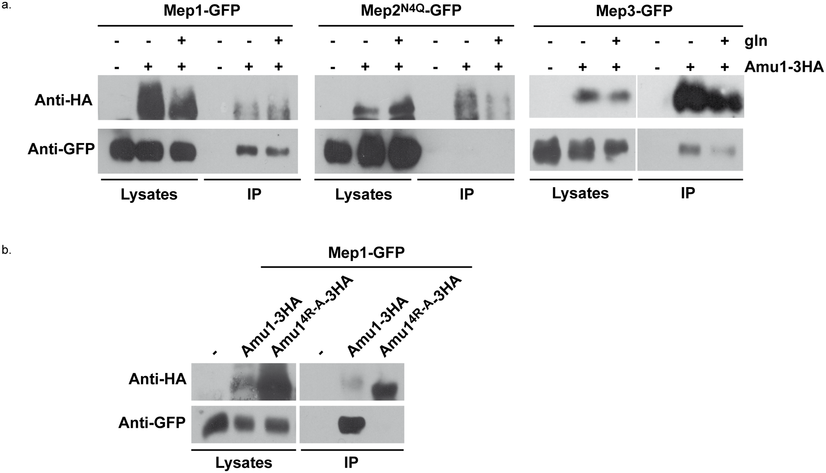 Amu1 interacts with Mep1 and Mep3 <i>in vitro</i>.