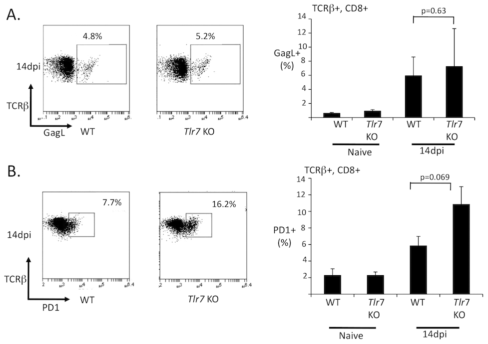 The FV-specific CD8 T cell response is independent of TLR7.