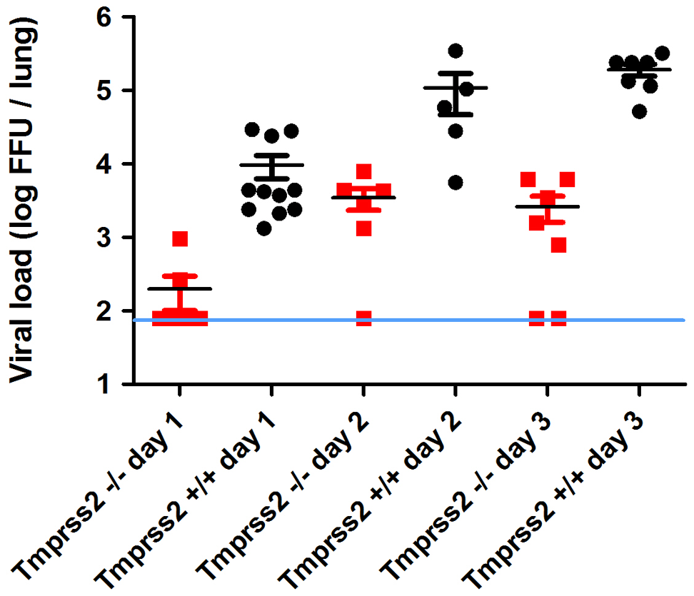 Viral load in the lungs of <i>Tmprss2<sup>−/−</sup></i> mice after infection with H1N1 (PR8M) influenza A virus.