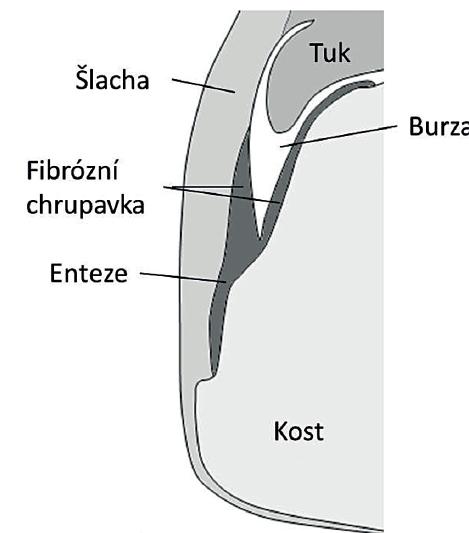 Entezo-synoviální komplex – upraveno dle McGonagle a kol. [7].