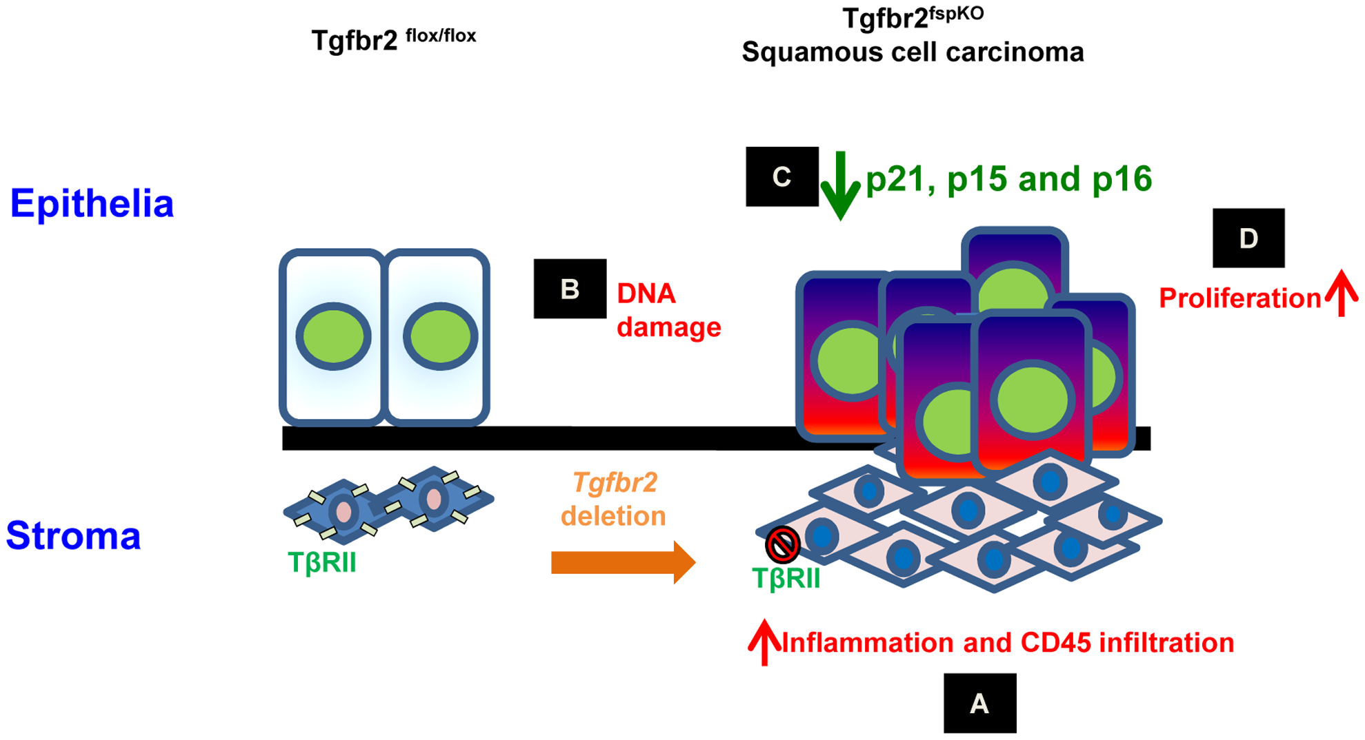 Schematic hypothesis for the development of forestomach SCC due to loss of <i>Tgfbr2</i> in stromal fibroblasts.