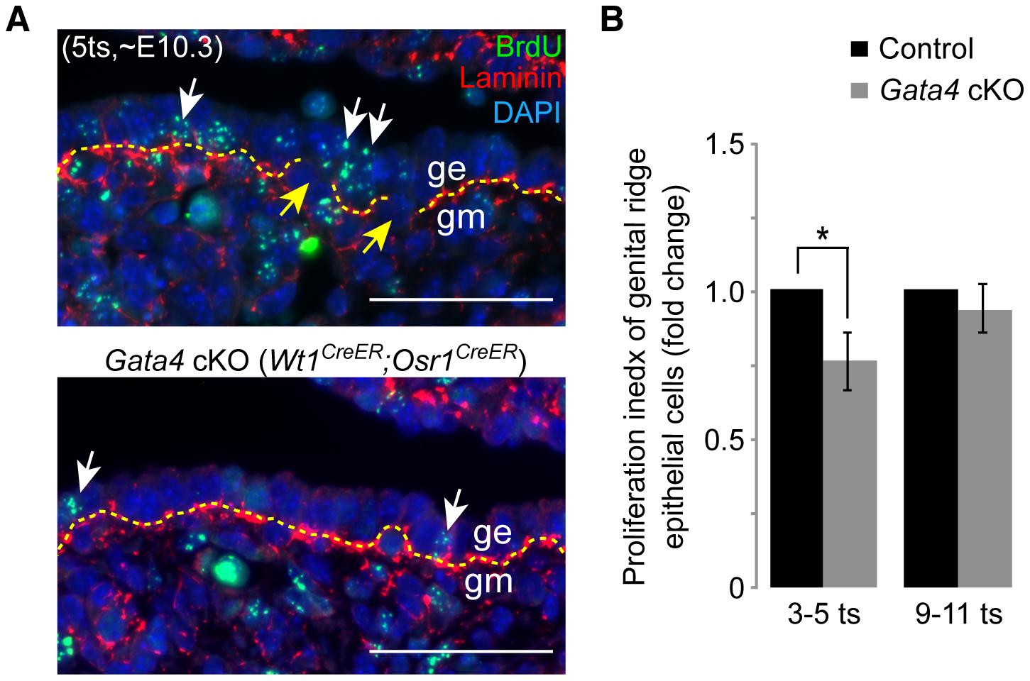 <i>Gata4</i> deficiency impairs epithelial proliferation and basement membrane breakdown.