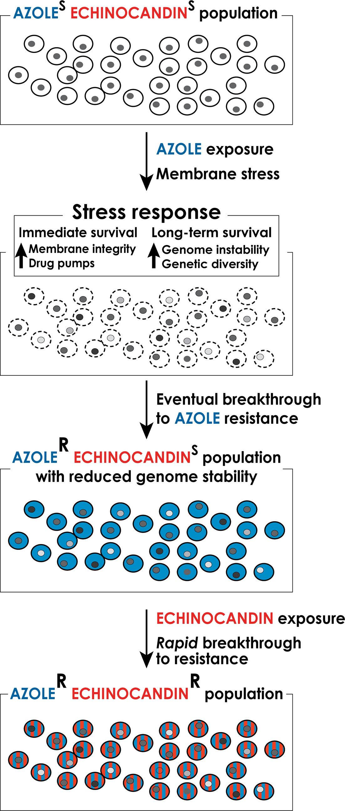 A model for the formation of multidrug-resistant strains of <i>C</i>. <i>glabrata</i>.