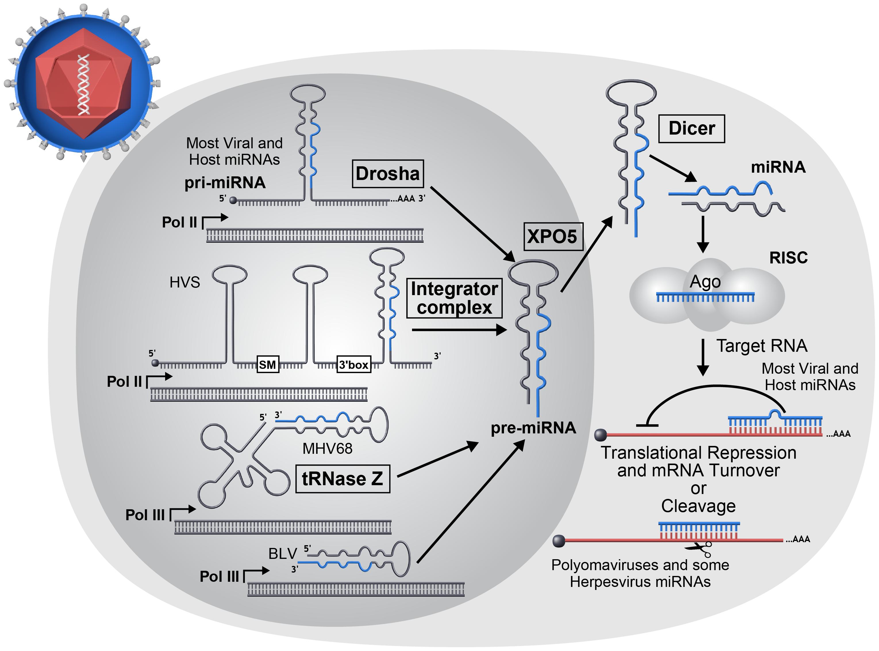 miRNA biogenesis overview.