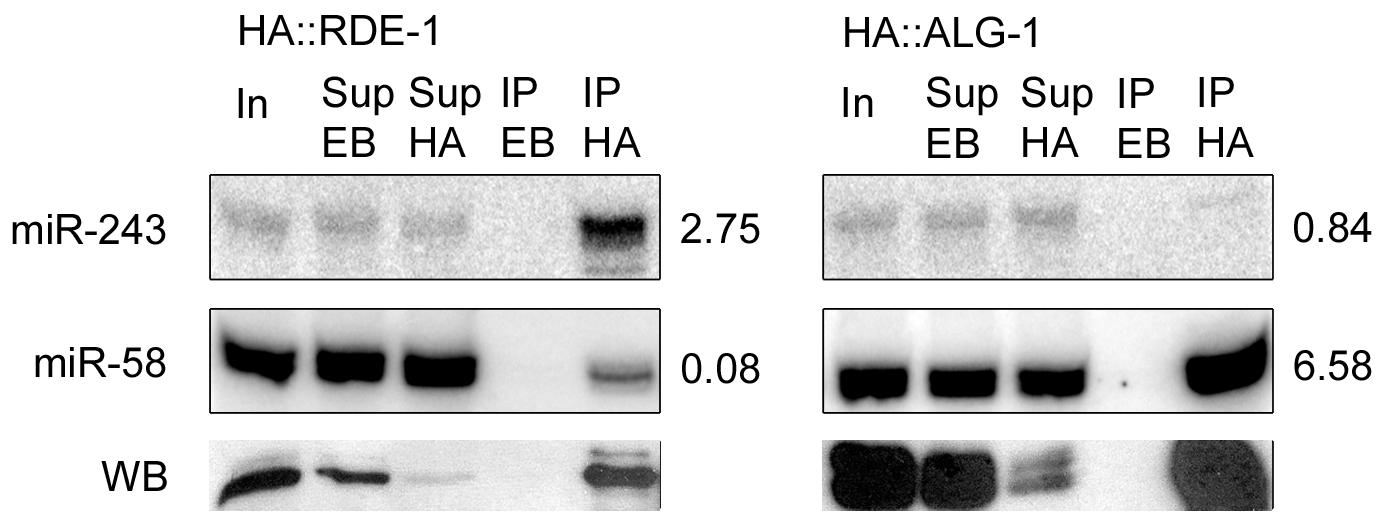 Mir-243 is enriched in HA::RDE-1 immunoprecipitates.