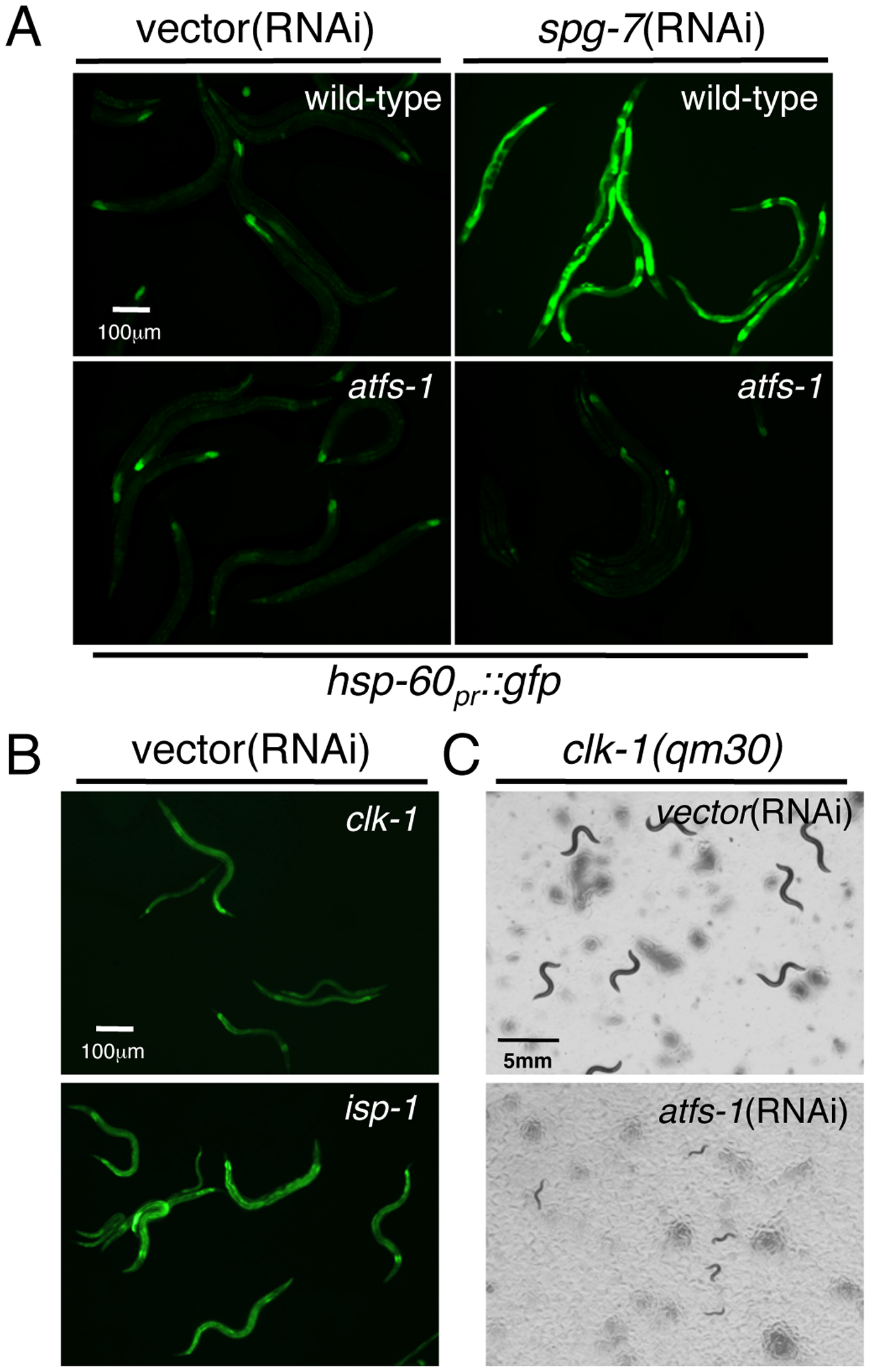 ATFS-1 Is Required for Mitochondrial Chaperone Induction and Development during Mitochondrial Stress.