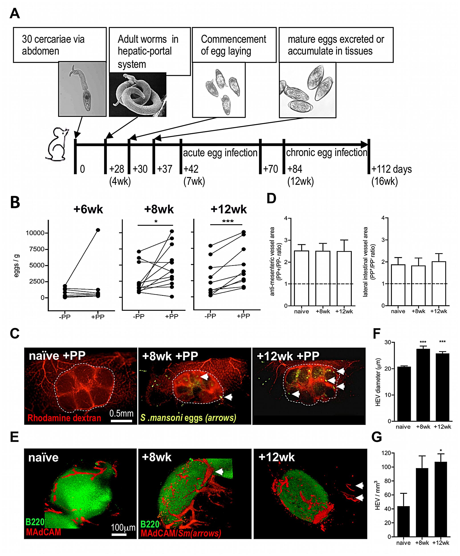 Egg deposition is more abundant within PP-associated vasculature.
