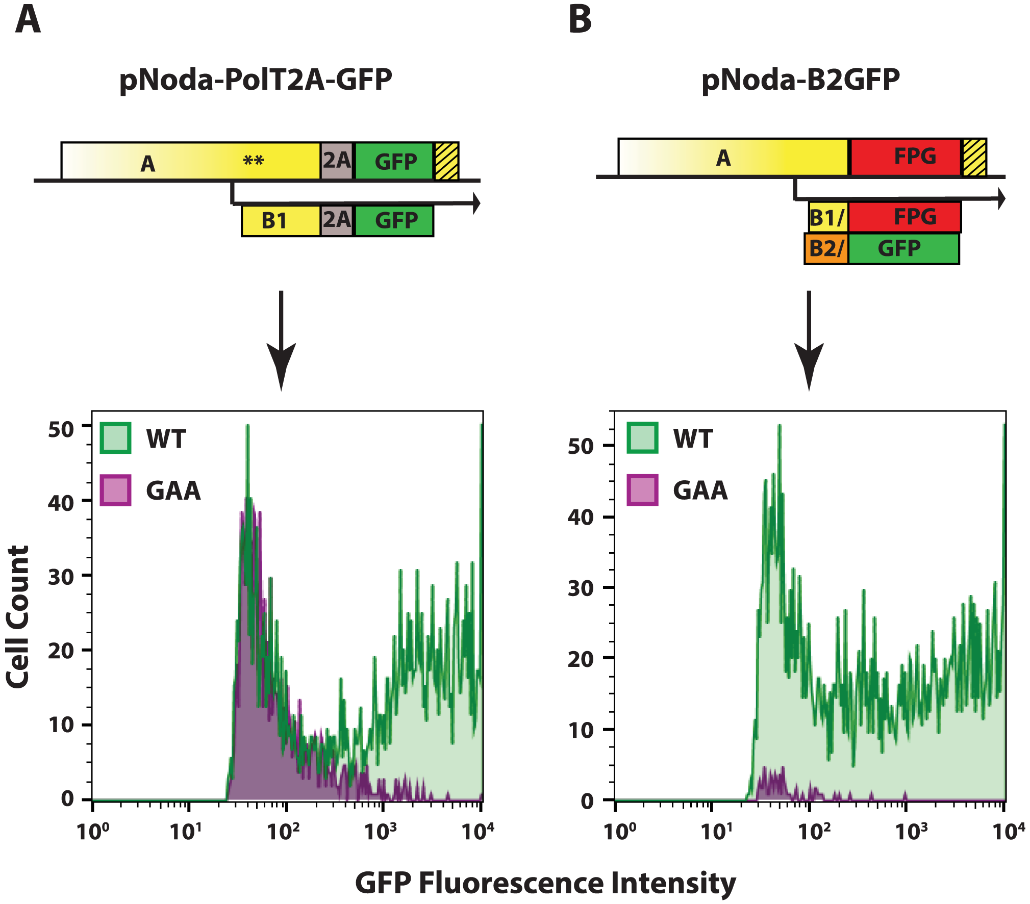 GFP expression from the two replicon designs.