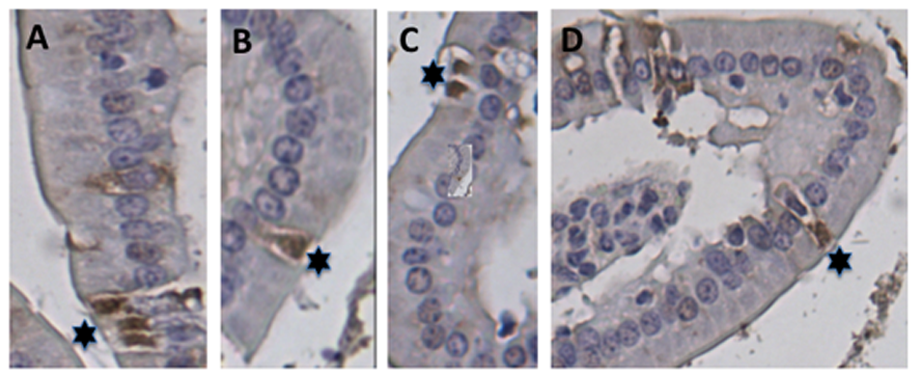 Localization of EC cells in the small intestine of mice.