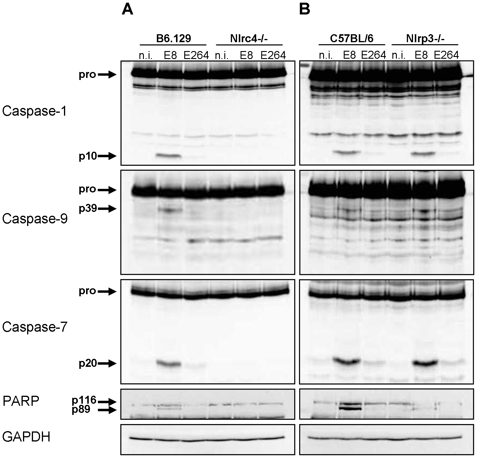 NLRC4, but not NLRP3 is required for early activation of caspase-1 in macrophages in response to <i>Burkholderia</i>.