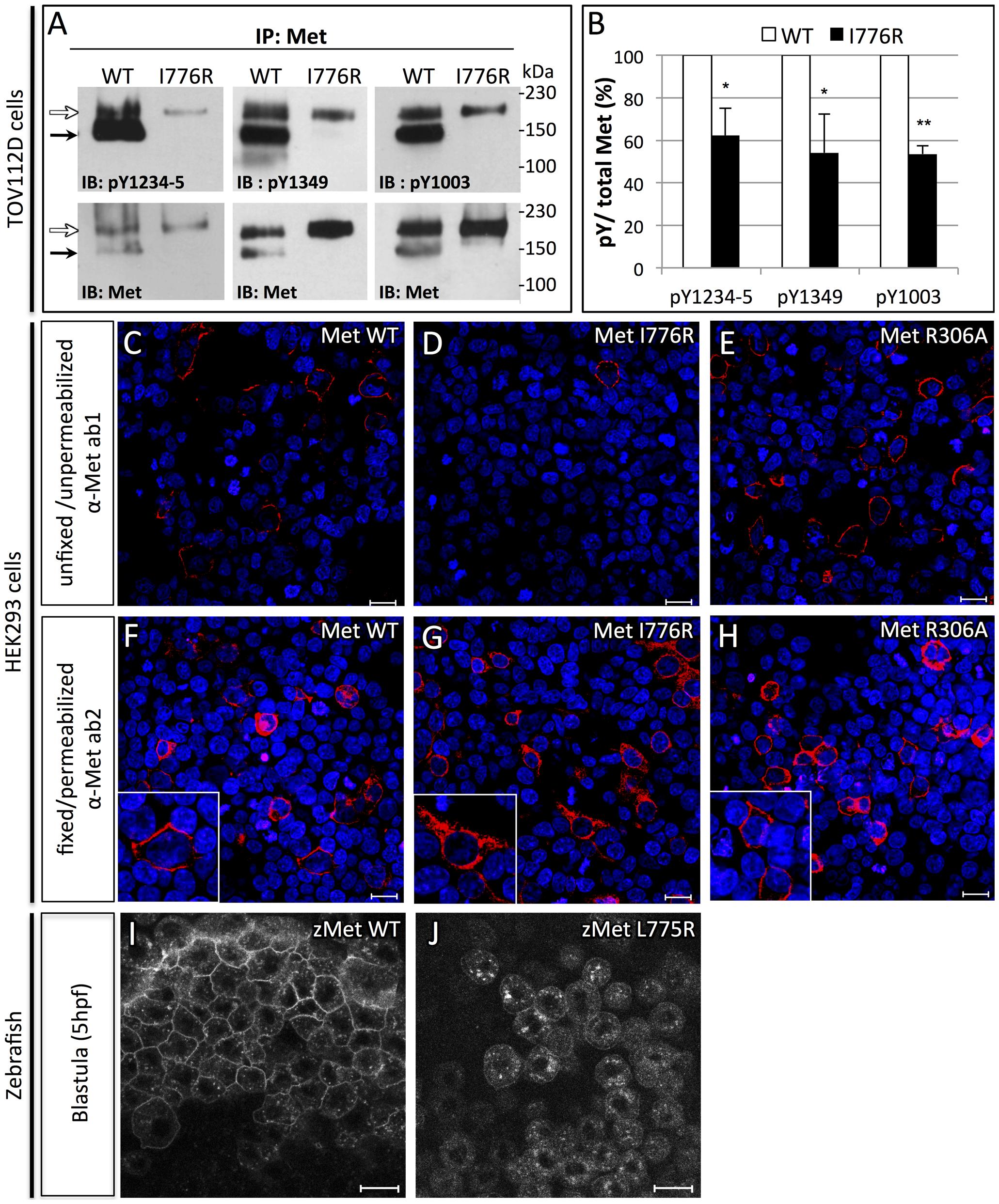 Orthologous murine <i>donut</i> mutation, I776R, impairs HGF signaling and receptor trafficking.