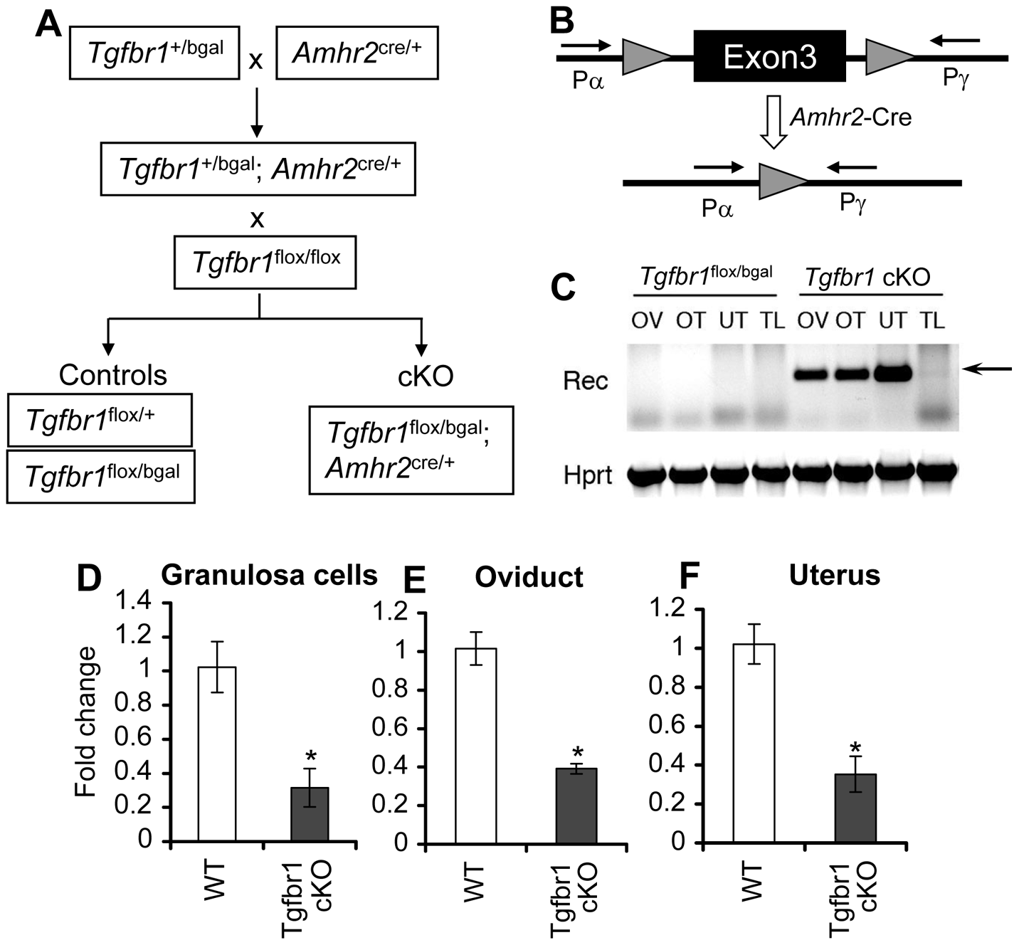 Generation of <i>Tgfbr1</i> conditional knockout mice.