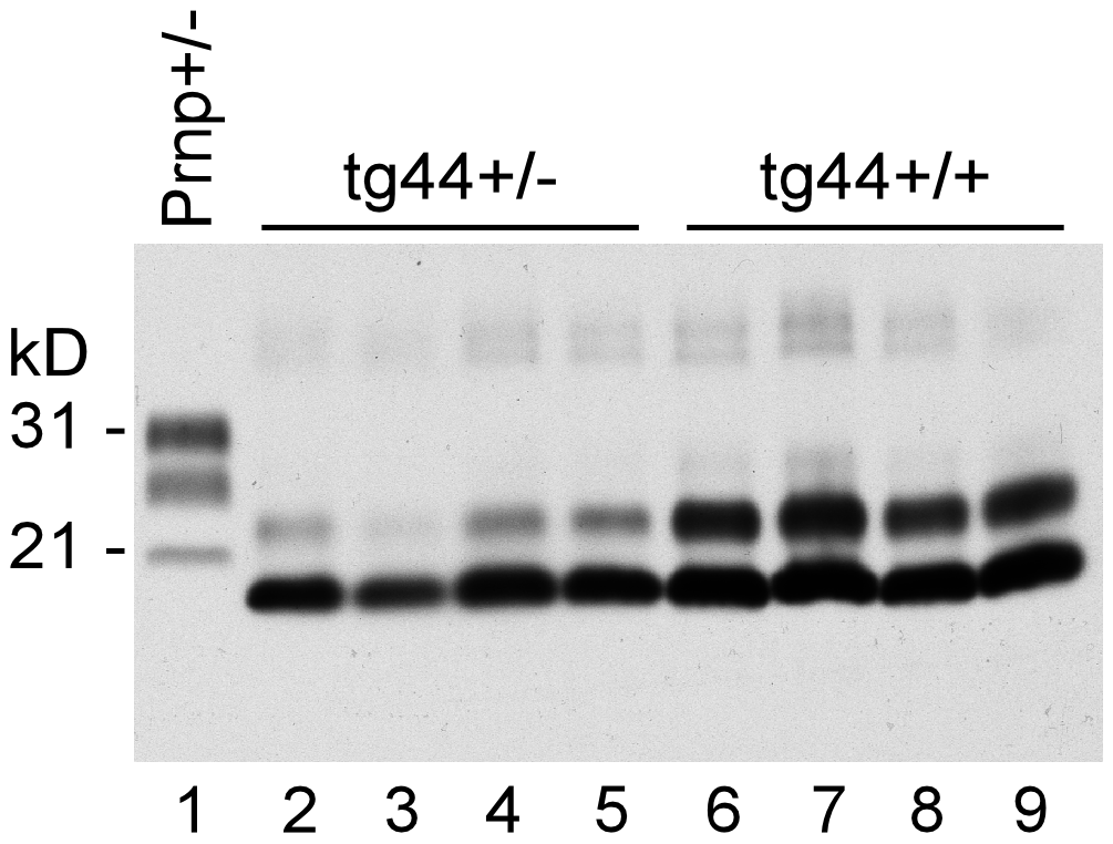 Detection of PrPres by immunoblot using monoclonal antibody D13.