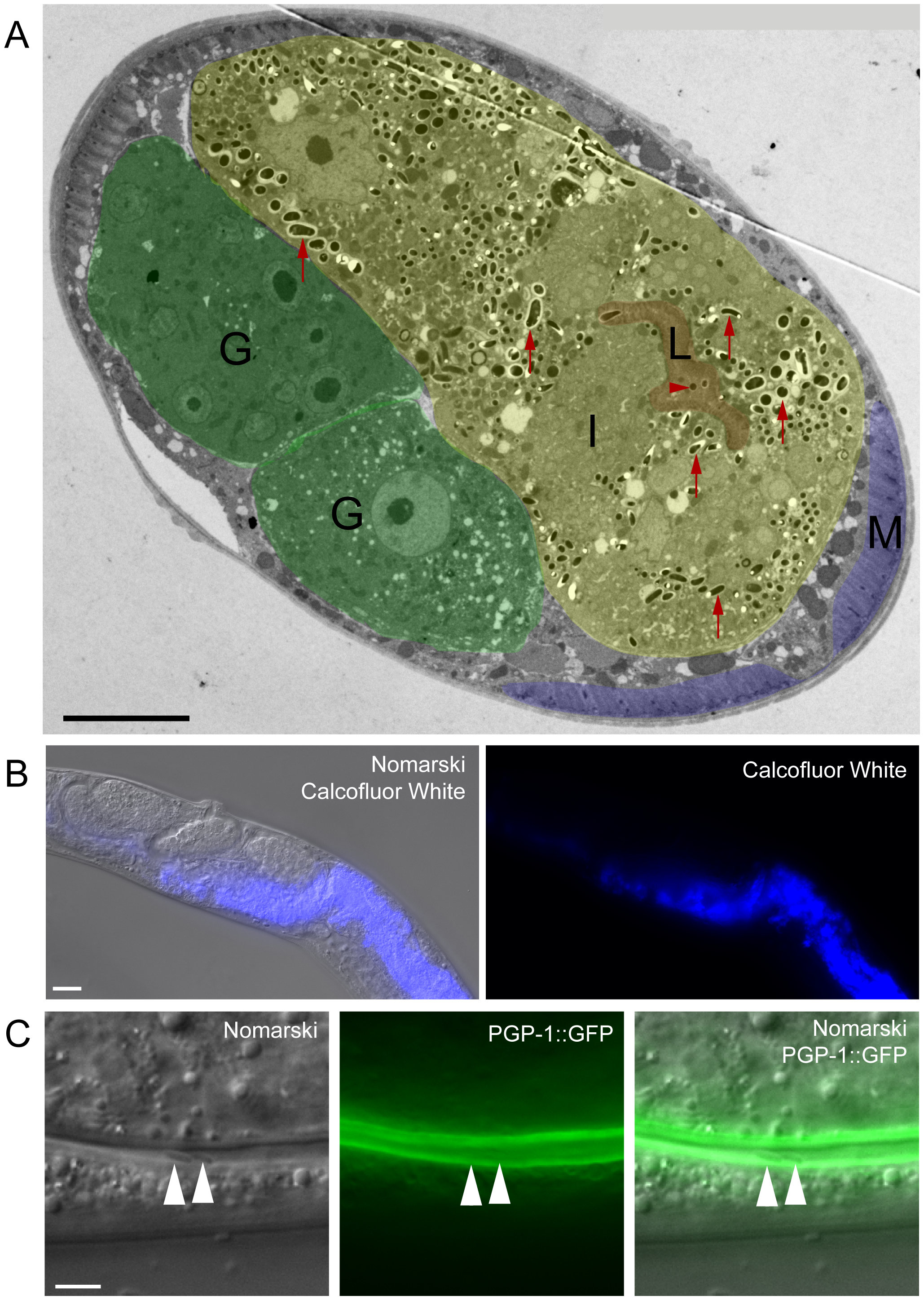 <i>N. parisii</i> spores exit apically out of intestinal cells and are not labeled with a <i>C. elegans</i> membrane marker.