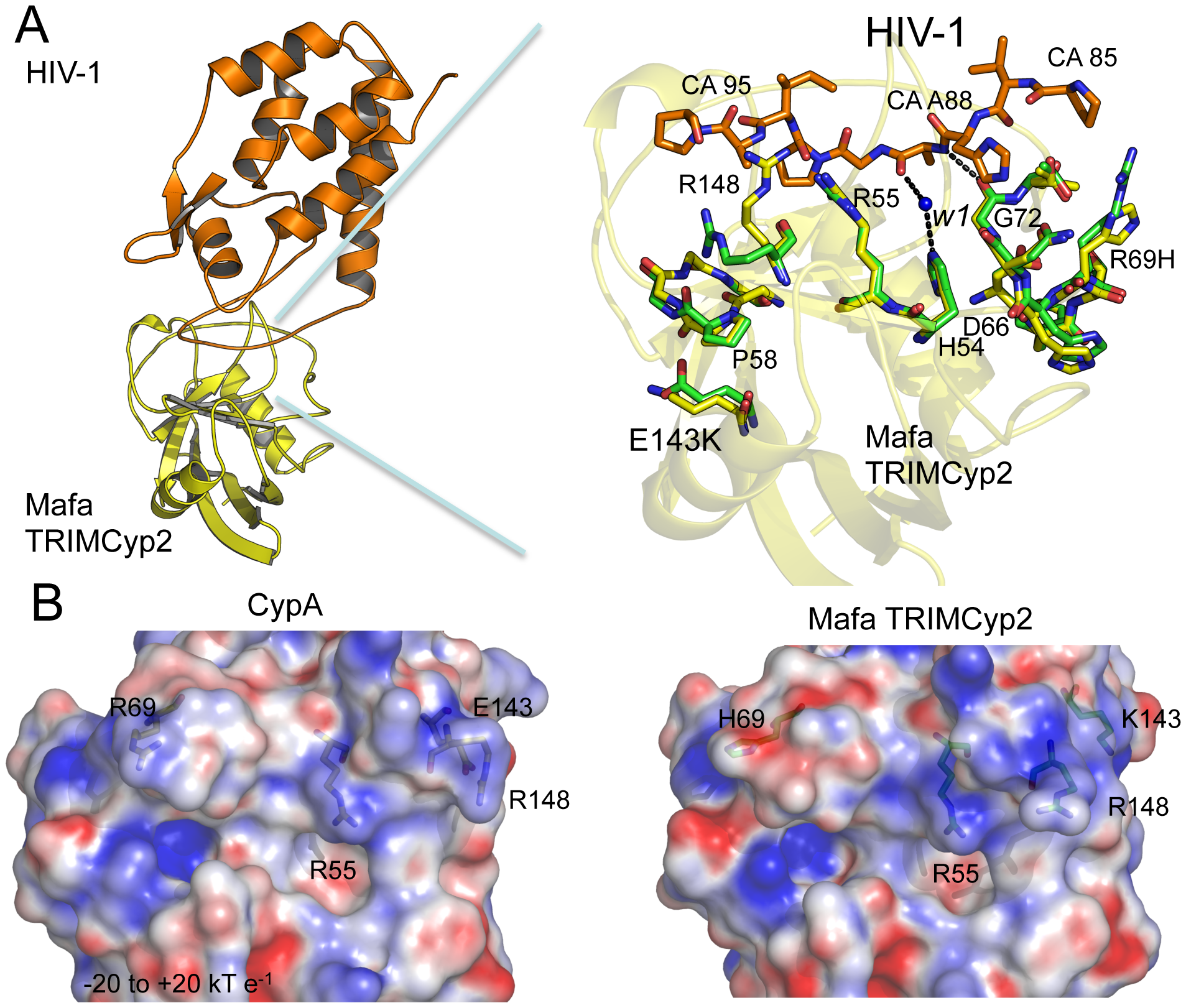 Crystal structure of the Mafa Cyp:HIV-1 N-terminal capsid domain complex.