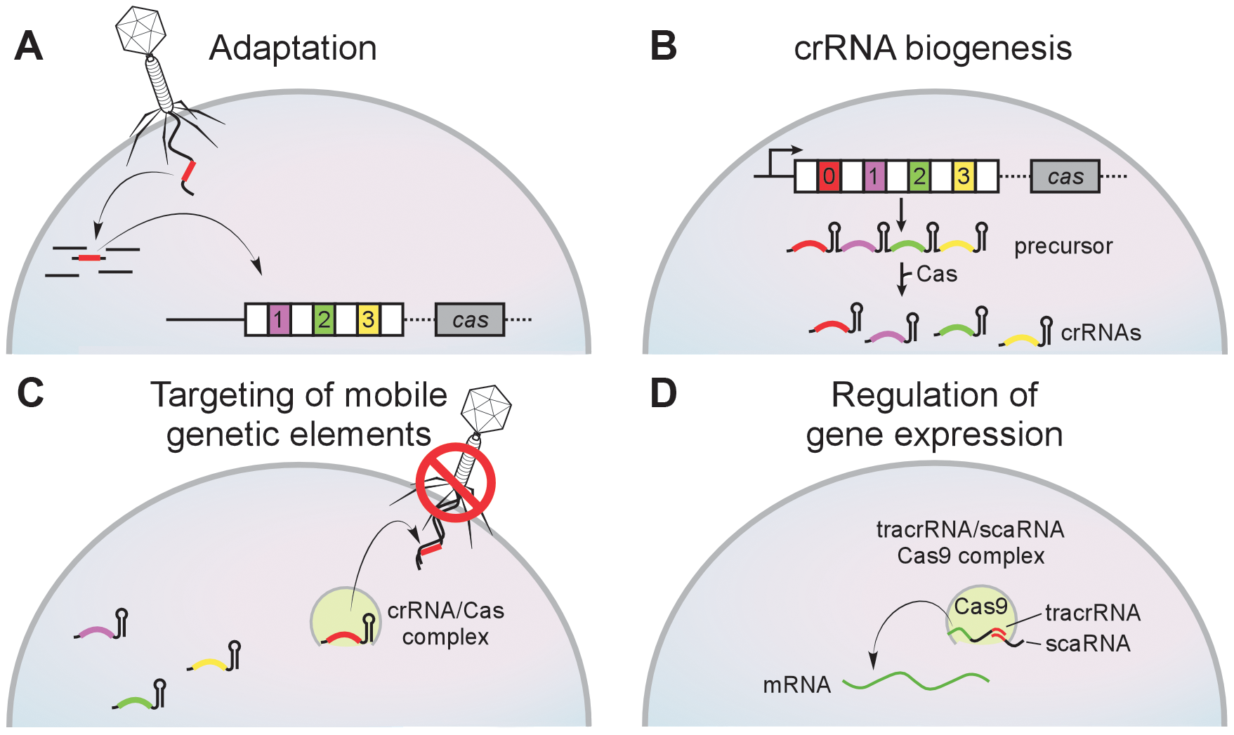 The CRISPR immunity pathway.