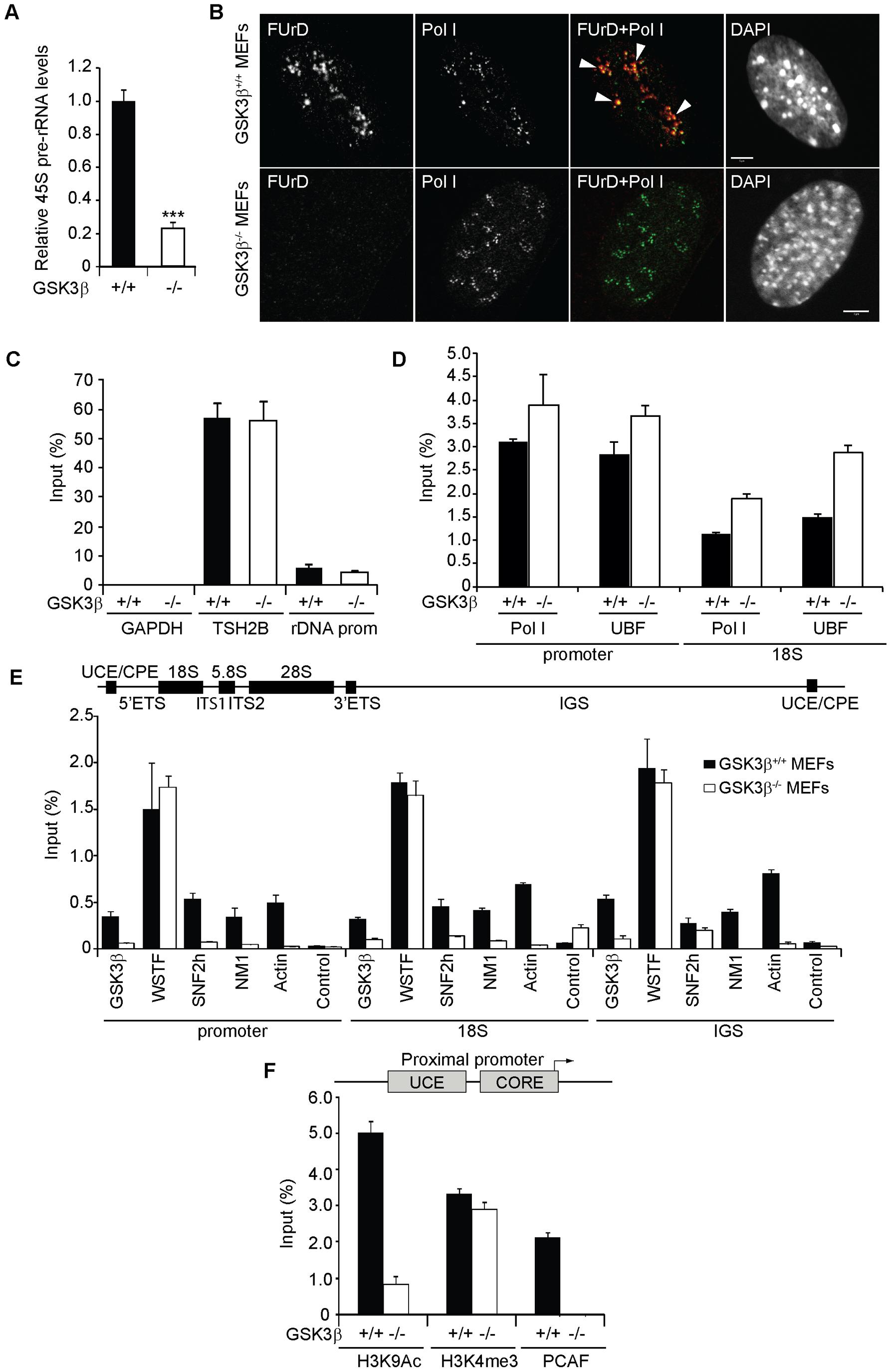 GSK3β regulates pol I transcription activation.