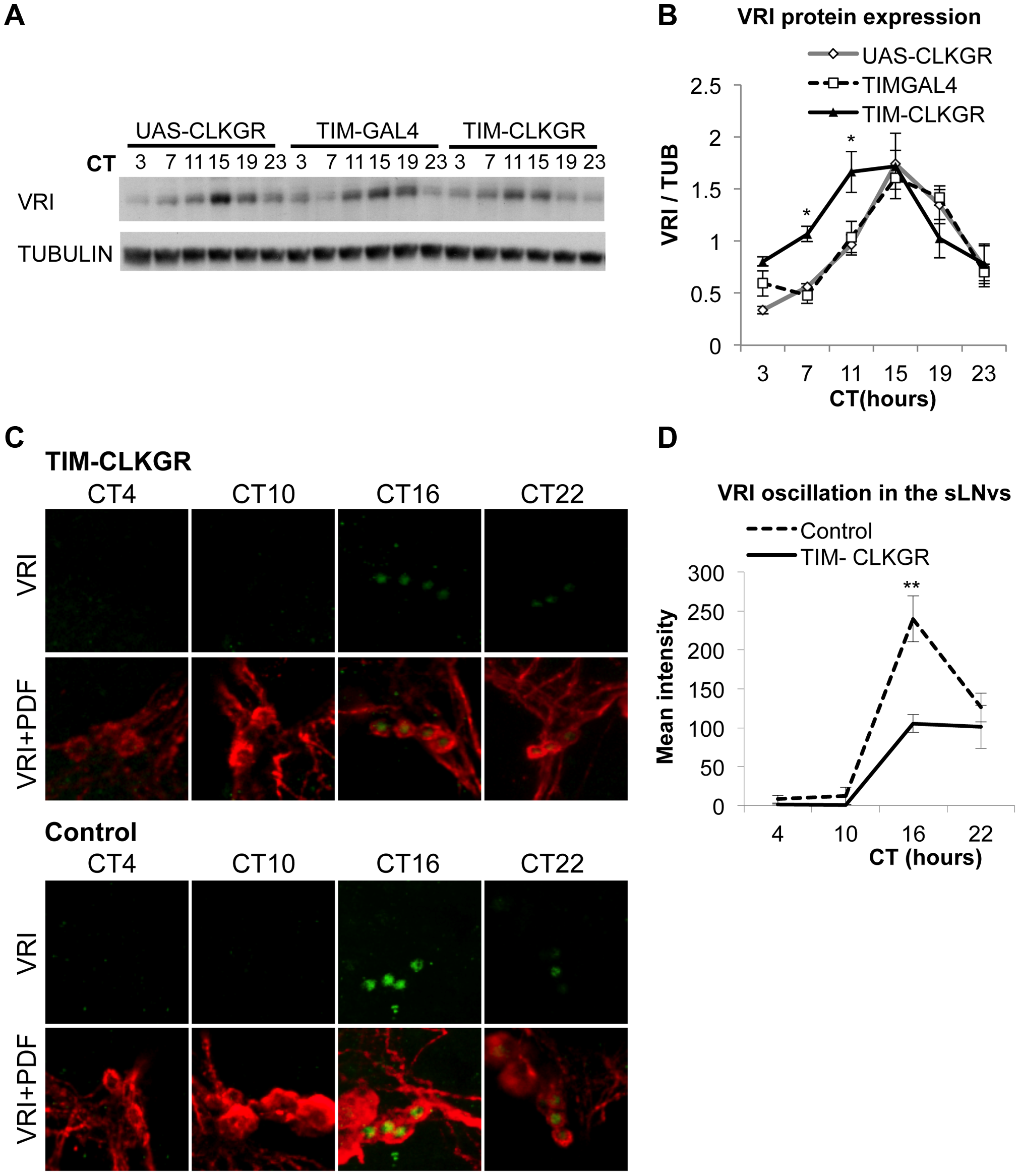 TIM-CLKGR flies display low amplitude circadian protein oscillations.
