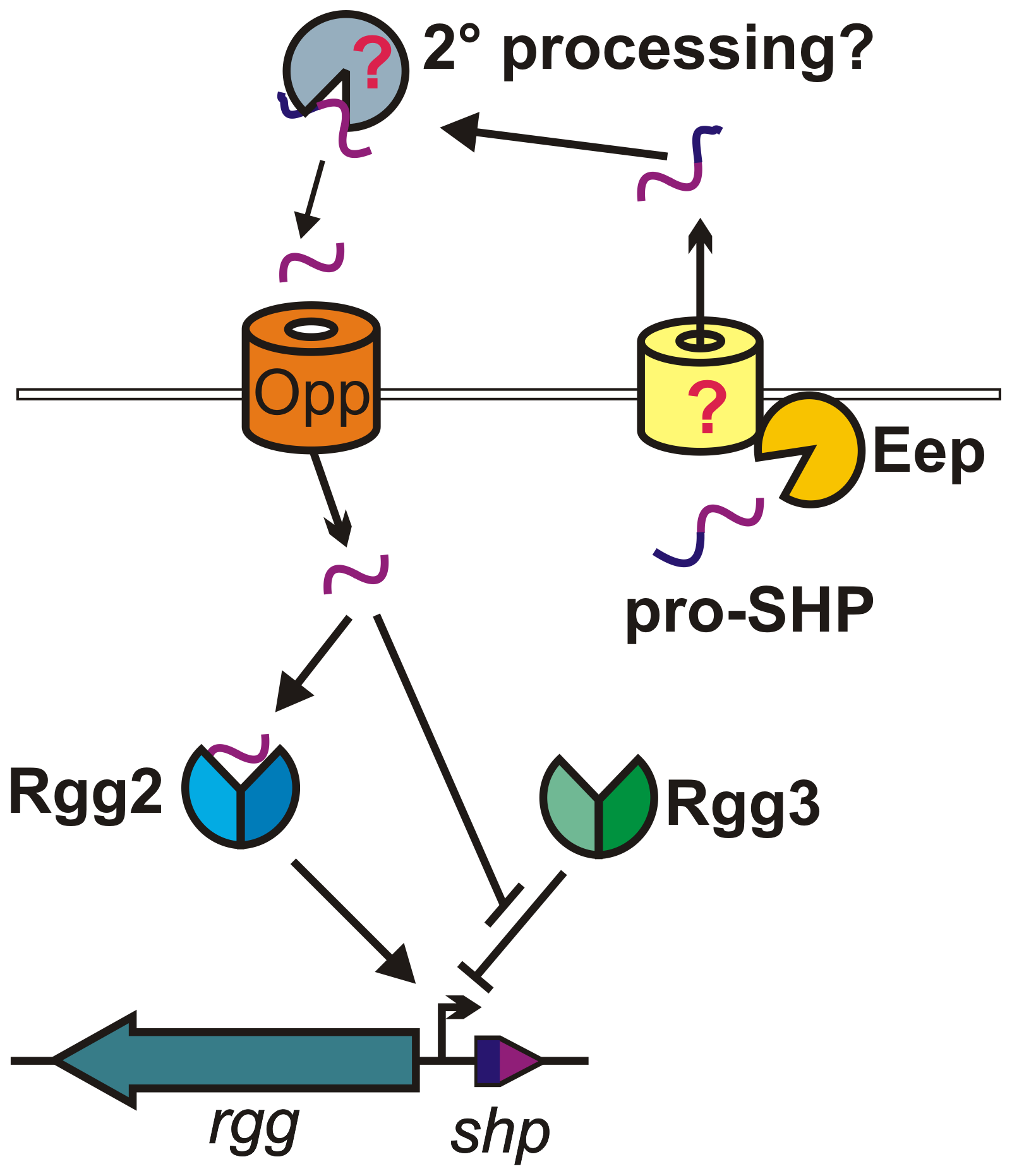 Model for Rgg2/3-SHP2/3 regulation.