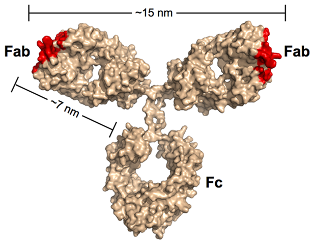 Scale model of an IgG antibody.