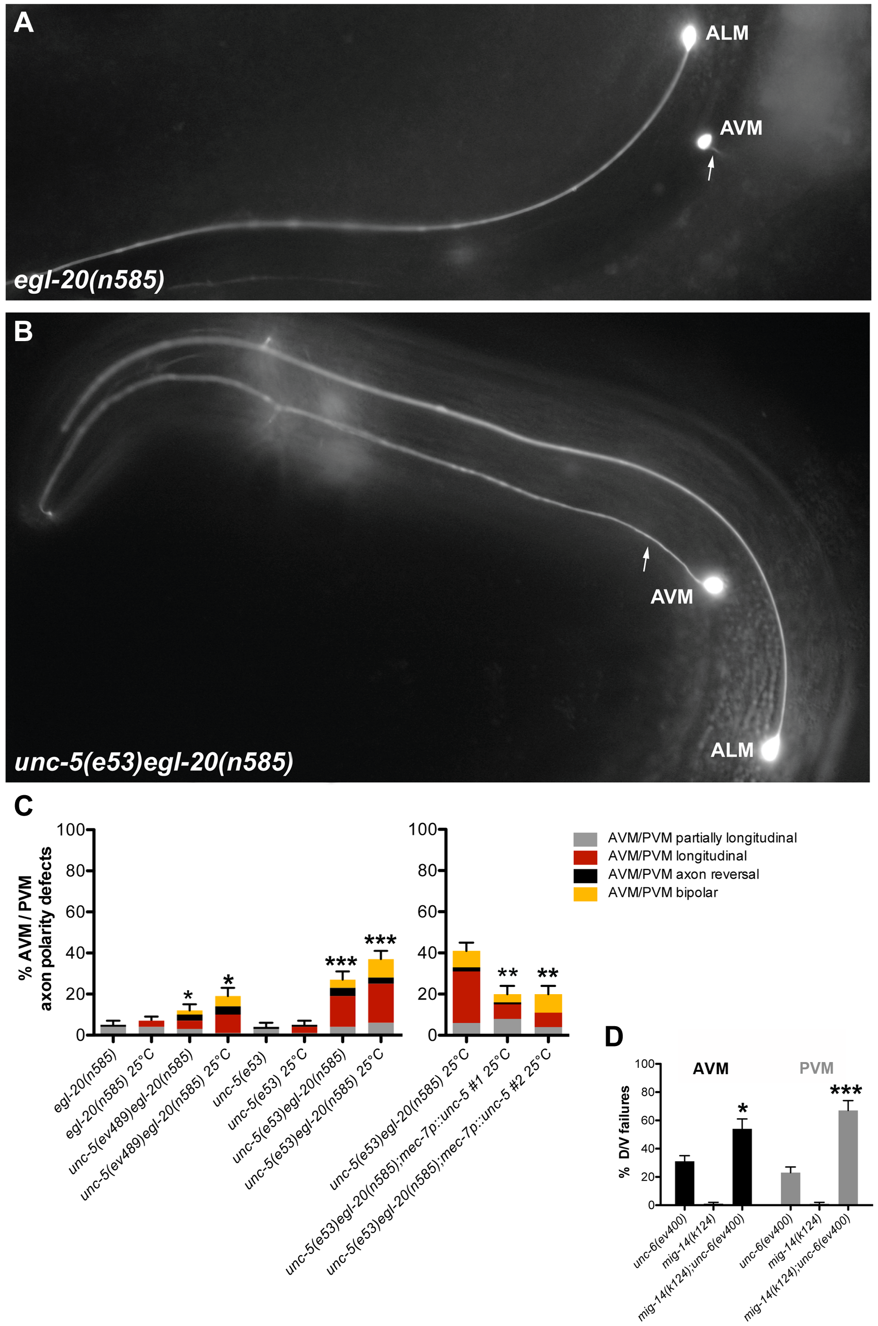 Wnt and Netrin signaling components function redundantly to regulate D/V axon guidance of AVM and PVM neurons.