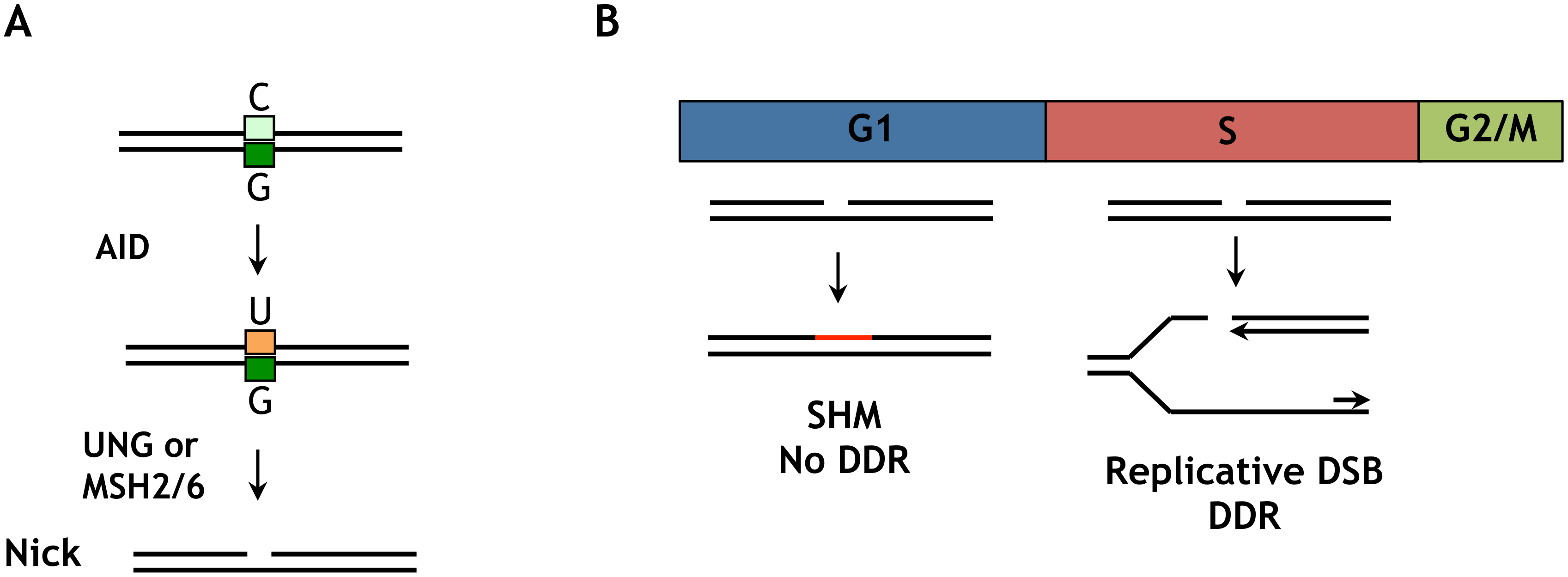 Distinct outcomes of an AID-initiated DNA nick in G1 and S/G2M phases.