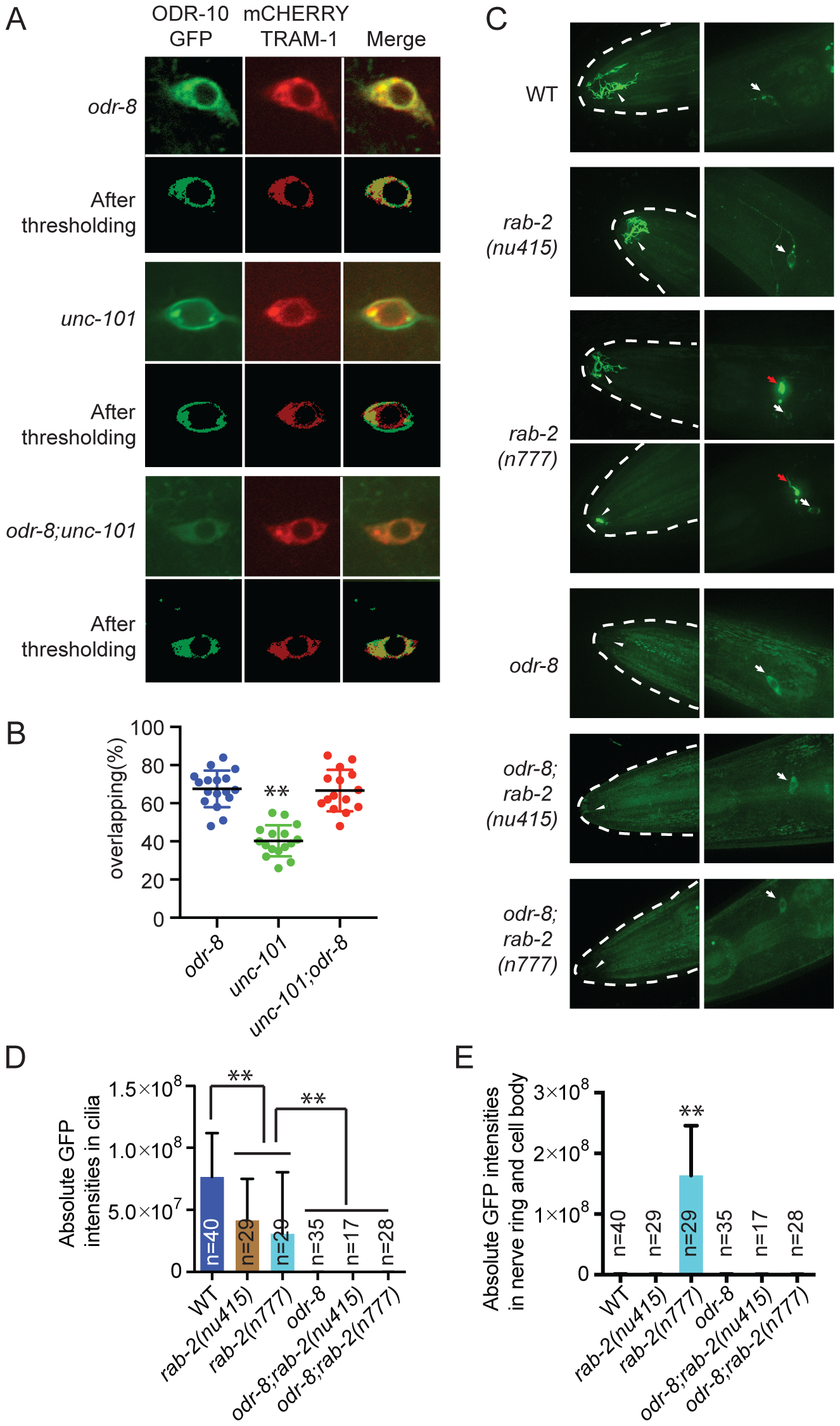 ODR-8 acts in an early step in ODR-10 trafficking to the AWA cilia.