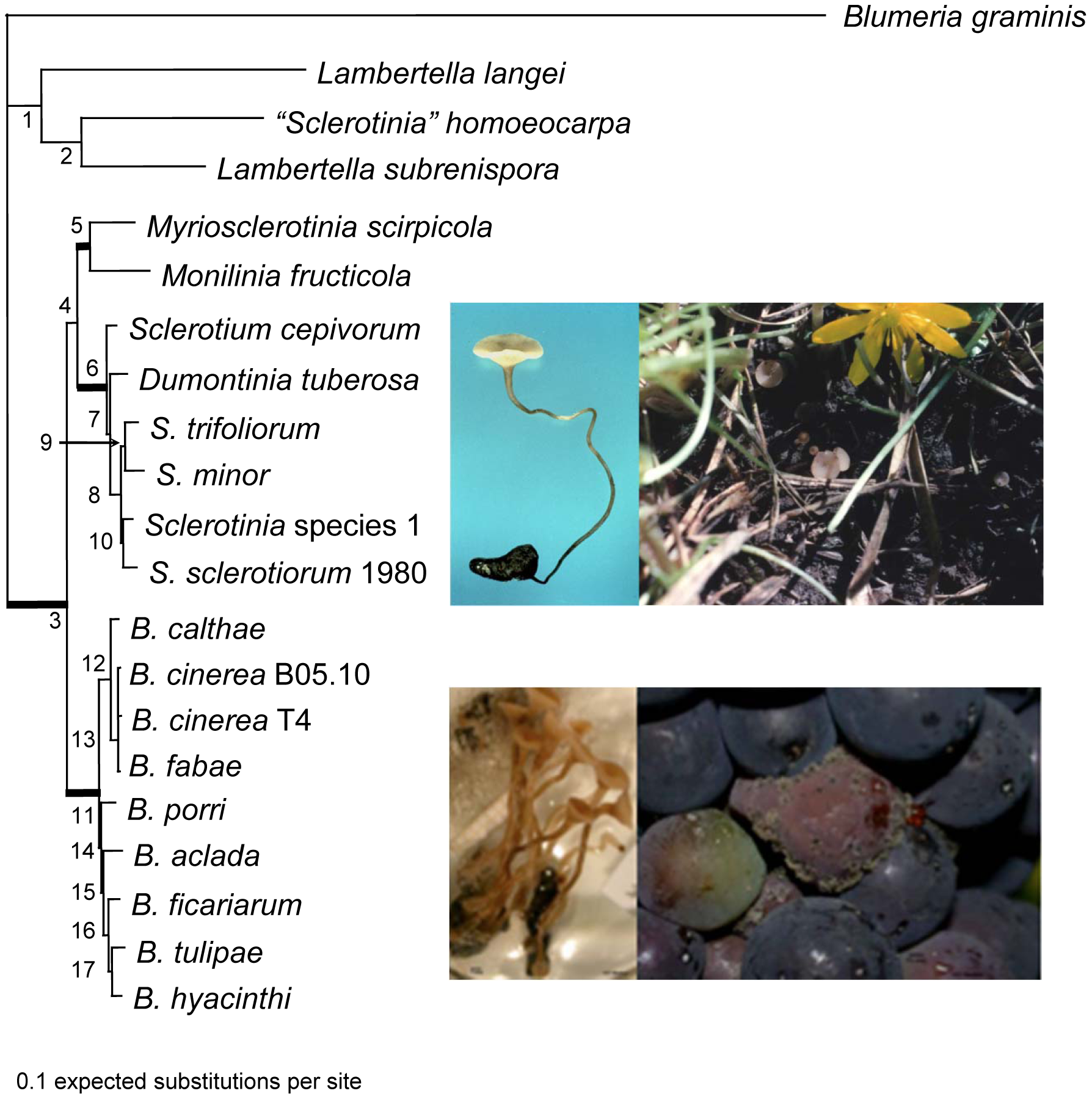 "Phylogeny of the Sclerotiniaceae (Ascomycota, Leotiomycetes, Helotiales), the sister group Rutstroemiaceae (represented by <i>Lambertella</i> species and ""<i>Sclerotinia</i>"" <i>homoeocarpa</i>), and the outgroup, <i>Blumeria graminis</i> (Leotiomycetes, Erysiphales)."
