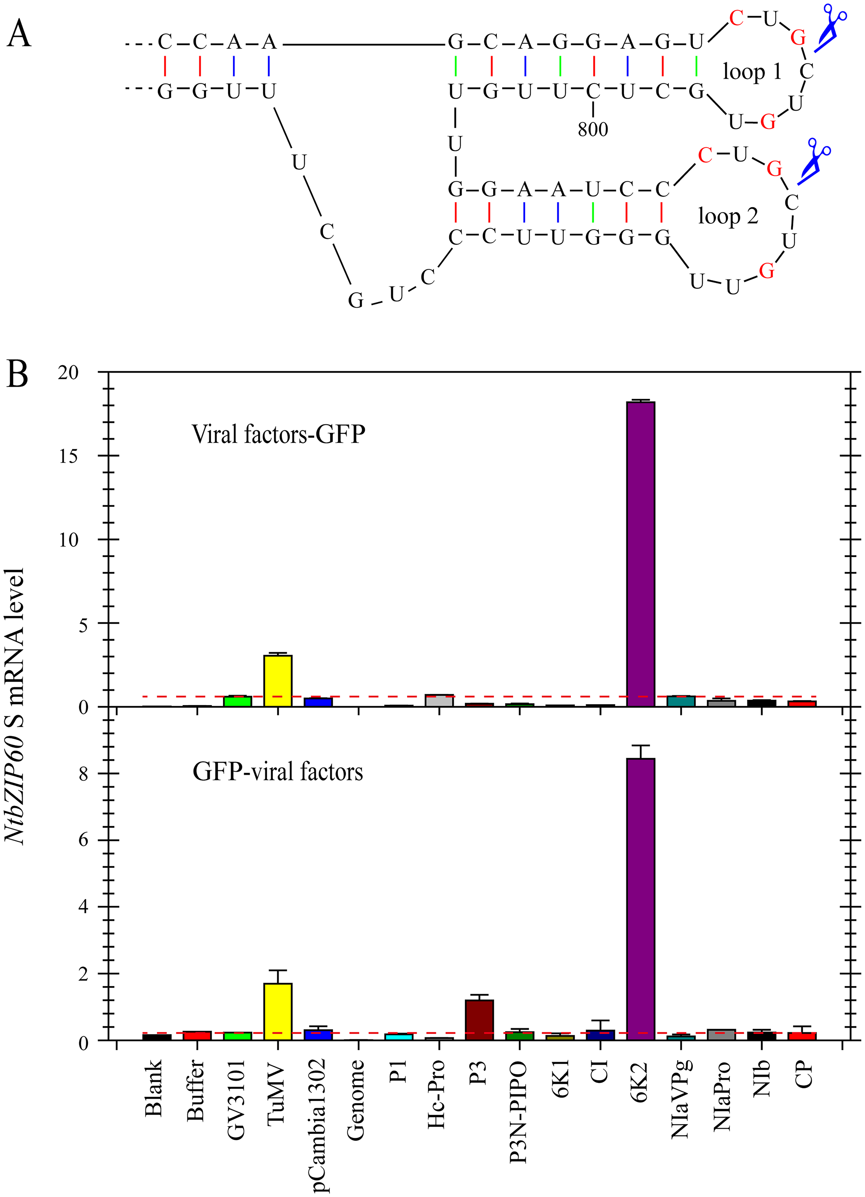 TuMV 6K2 is an inducer of <i>bZIP60</i> splicing.