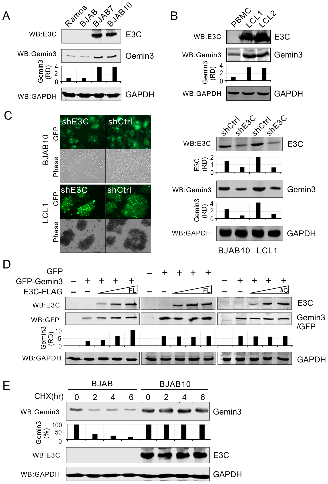 EBNA3C enhances the protein stability of Gemin3.