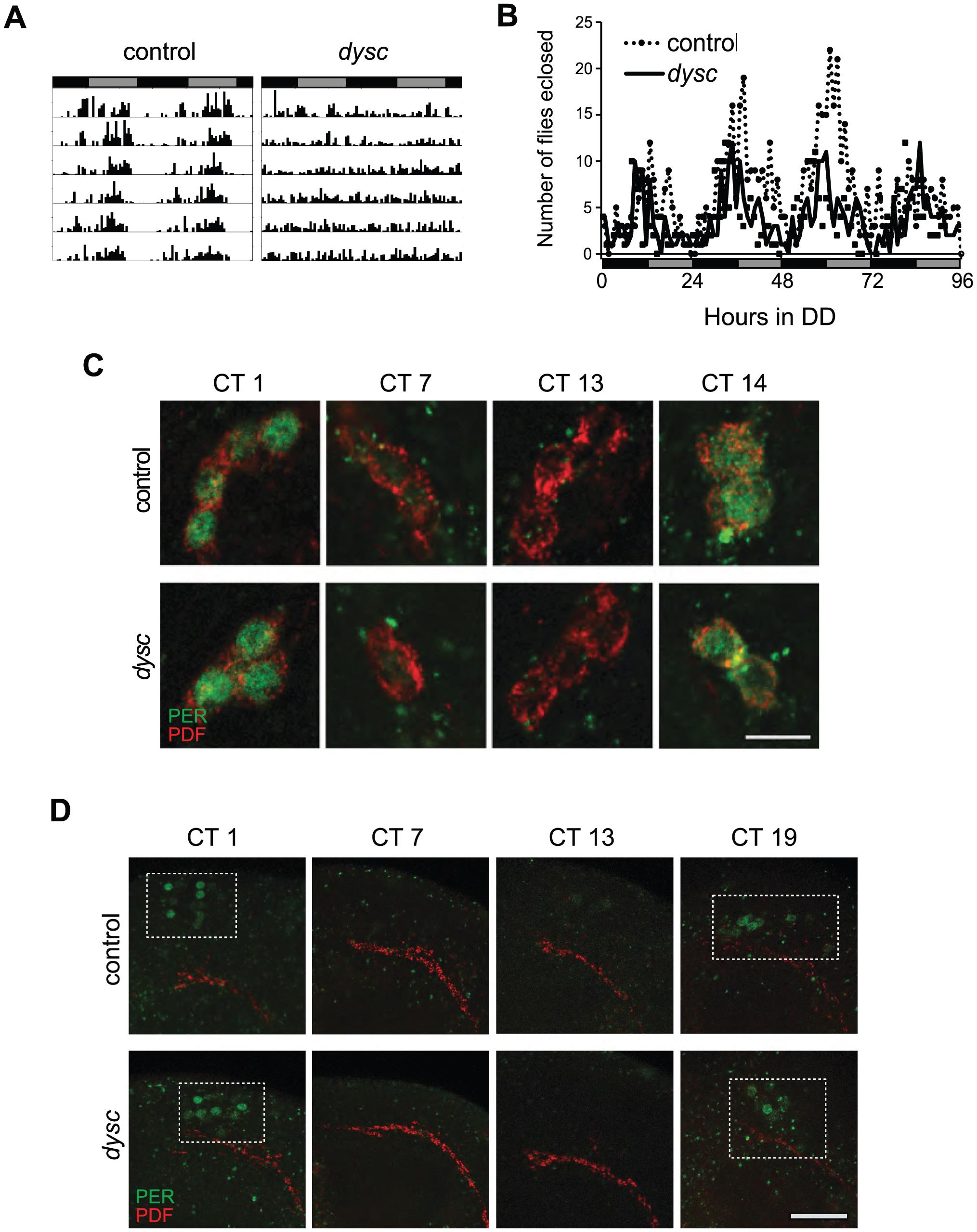The <i>dysc</i> mutation defines a novel circadian output gene.