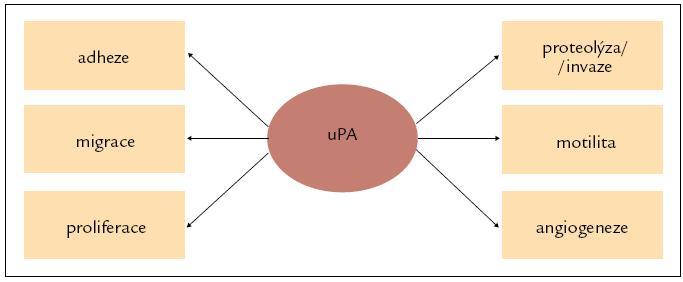 Multifunkční potenciál uPA. Upraveno podle [16].