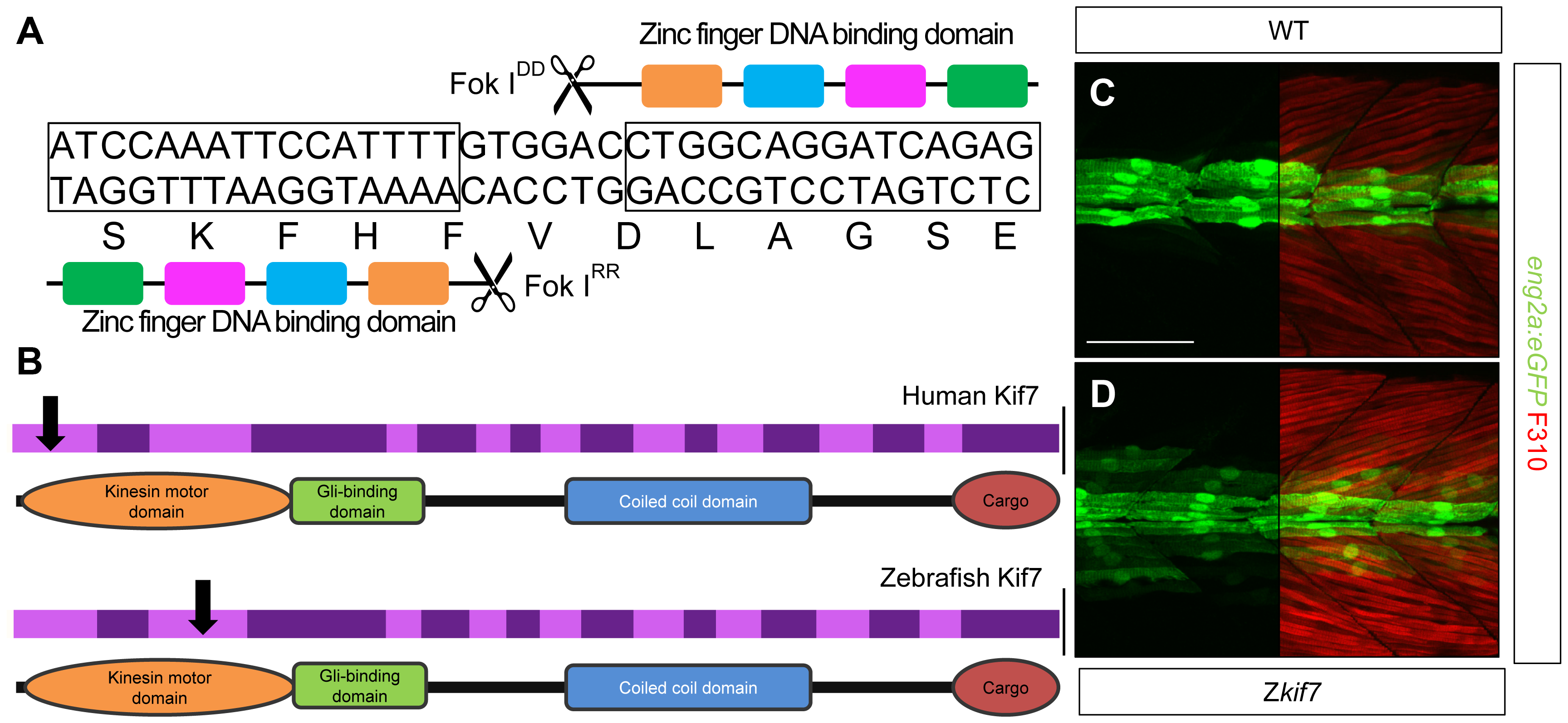 Targeted mutation of the zebrafish <i>kif7</i> gene.