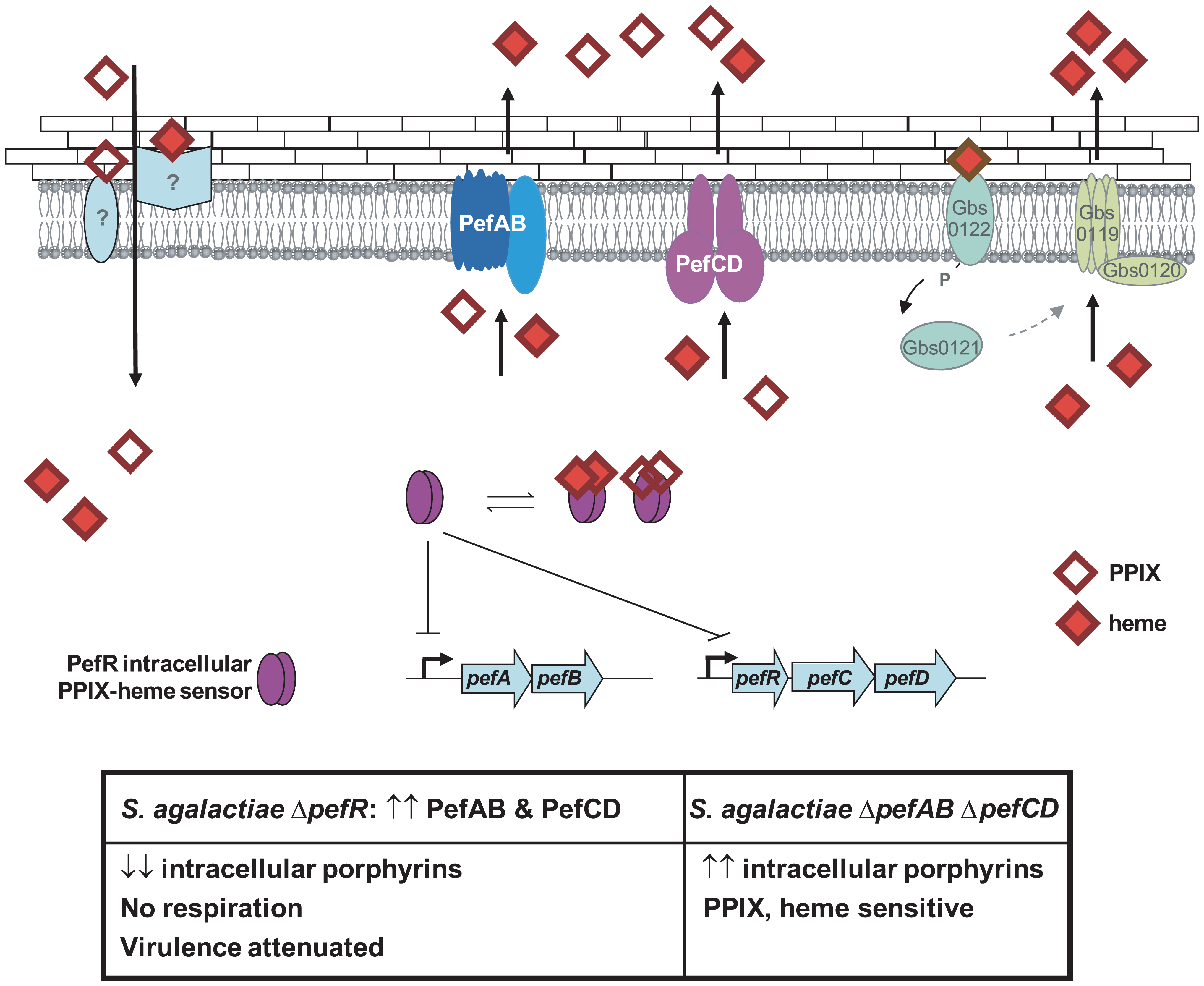 Model for <i>pefAB</i> and <i>pefCD</i> functions regulated by an intracellular sensor in <i>S. agalactiae</i>.