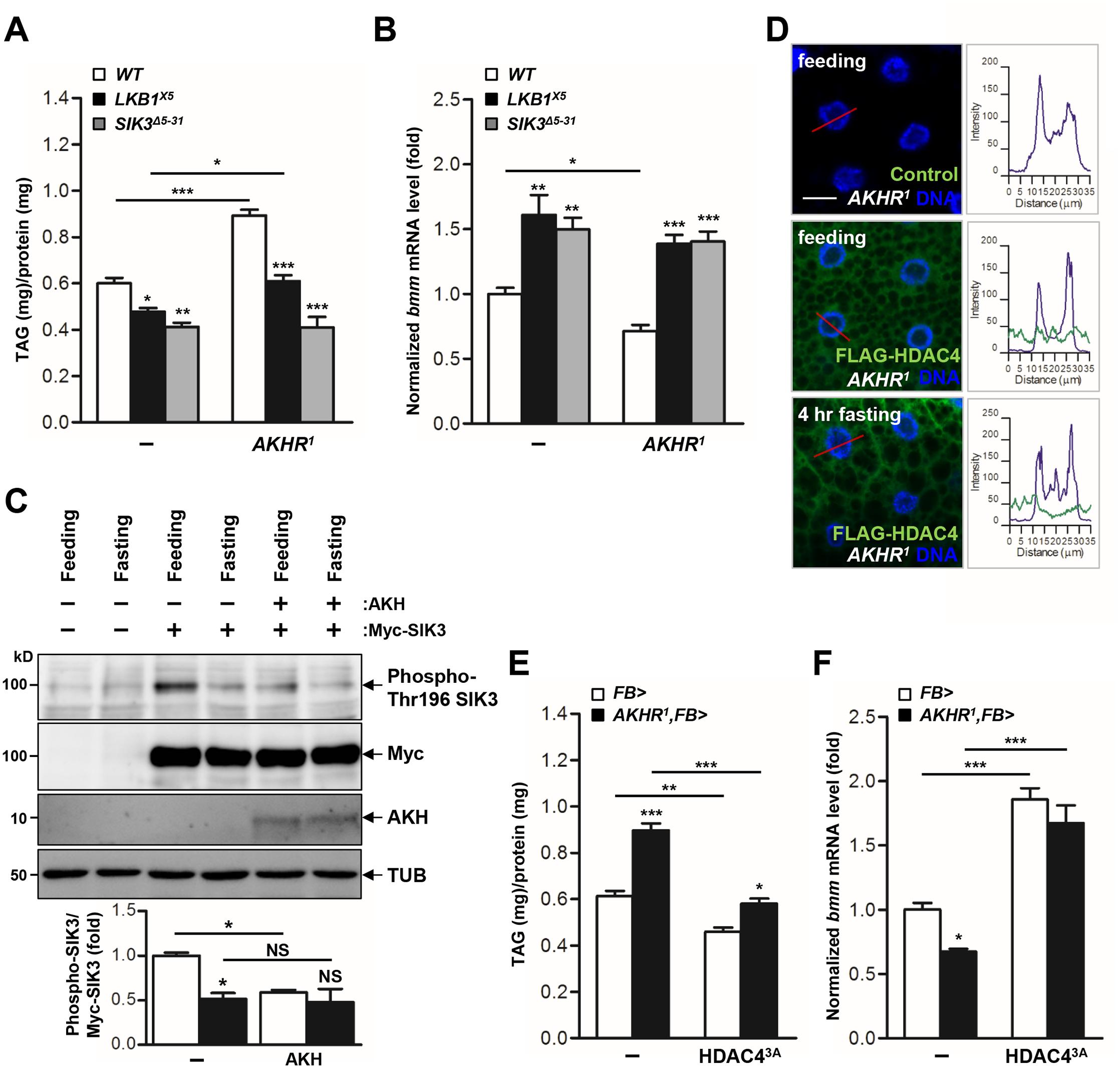 The AKH pathway regulates LKB1-SIK3-HDAC4 signaling to control lipid homeostasis.