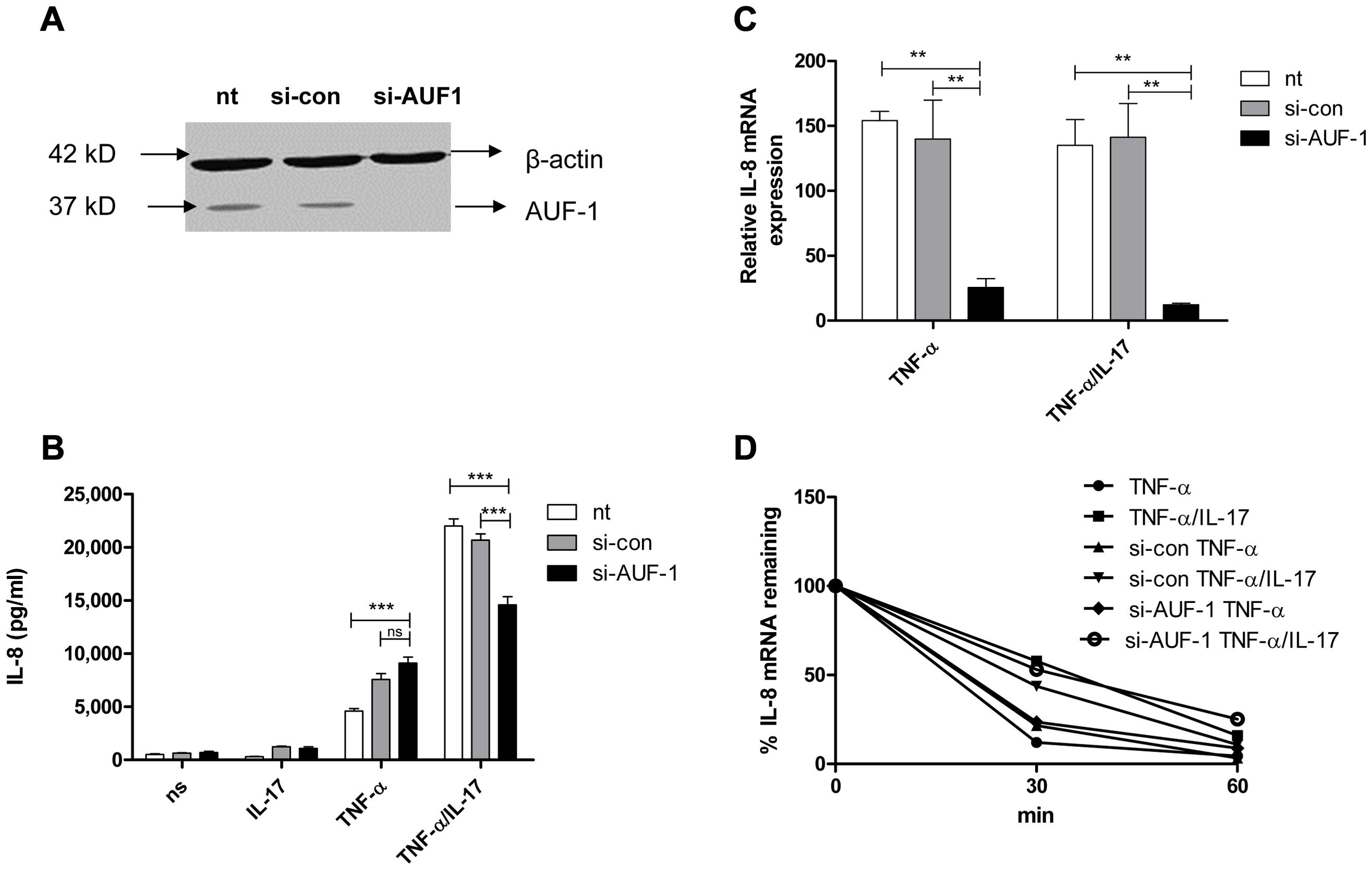 AUF-1 enhances IL-8 expression by halting IL-8 mRNA degradation.