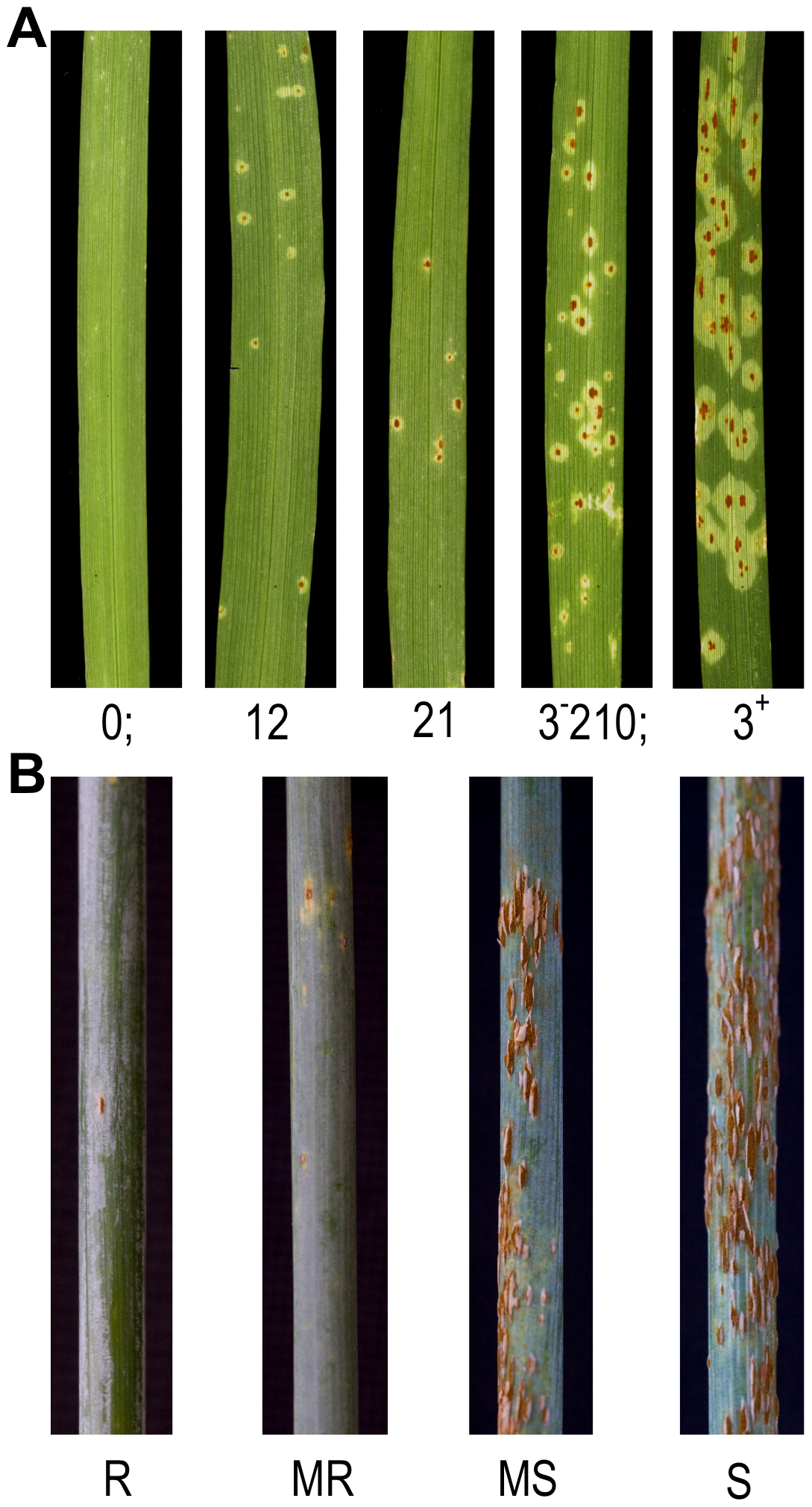 Phenotypic diversity in the barley QSM doubled haploid mapping population on first leaf in response to <i>Puccinia graminis</i> f. sp. <i>tritici</i> race TTKSK (<i>Pgt</i> race TTKSK).